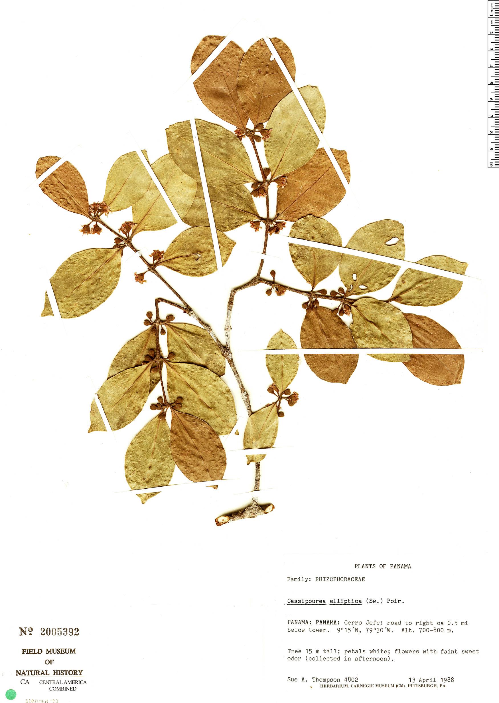 Cassipourea elliptica image