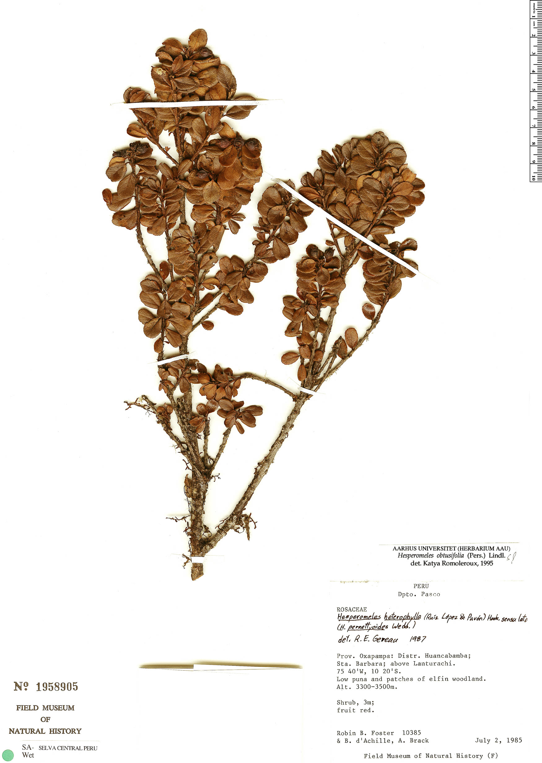 Specimen: Hesperomeles obtusifolia