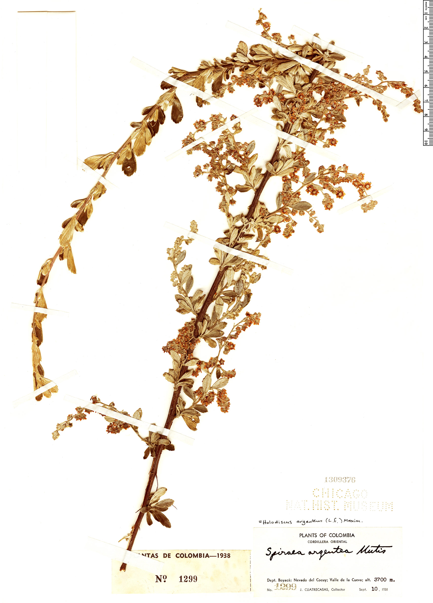 Specimen: Holodiscus argenteus