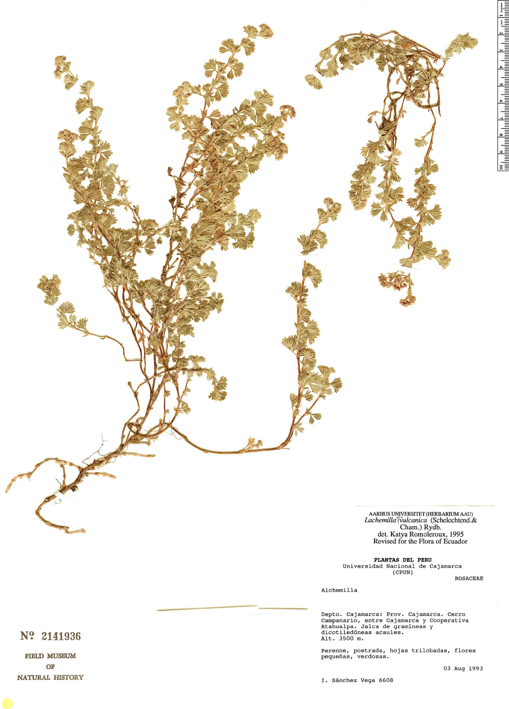 Specimen: Lachemilla vulcanica