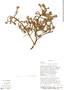 Margyricarpus pinnatus image