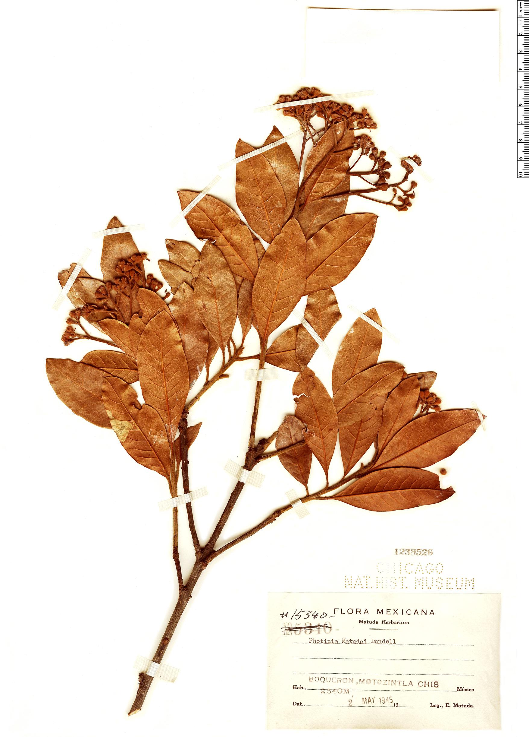 Specimen: Photinia matudae