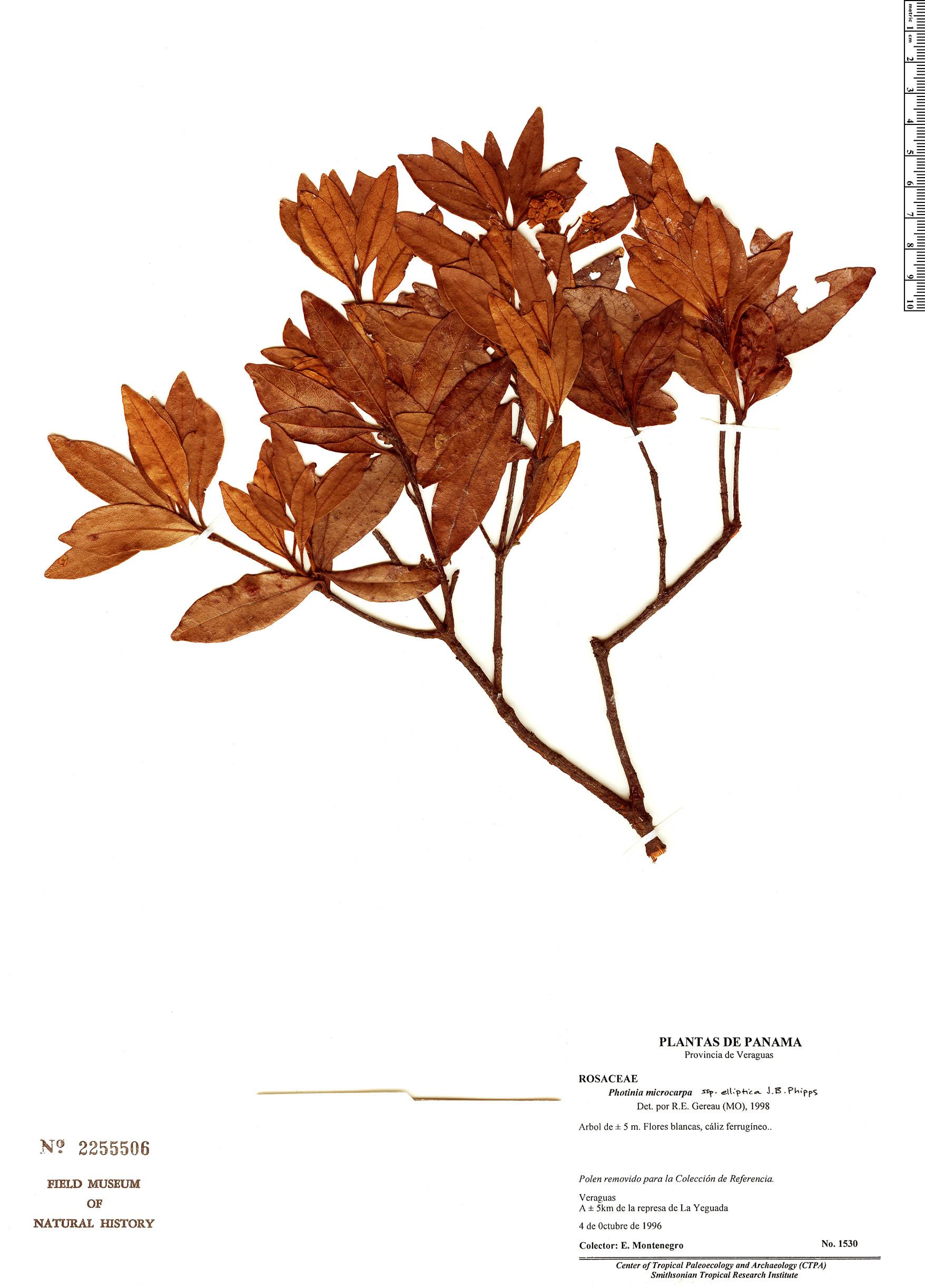 Specimen: Photinia microcarpa