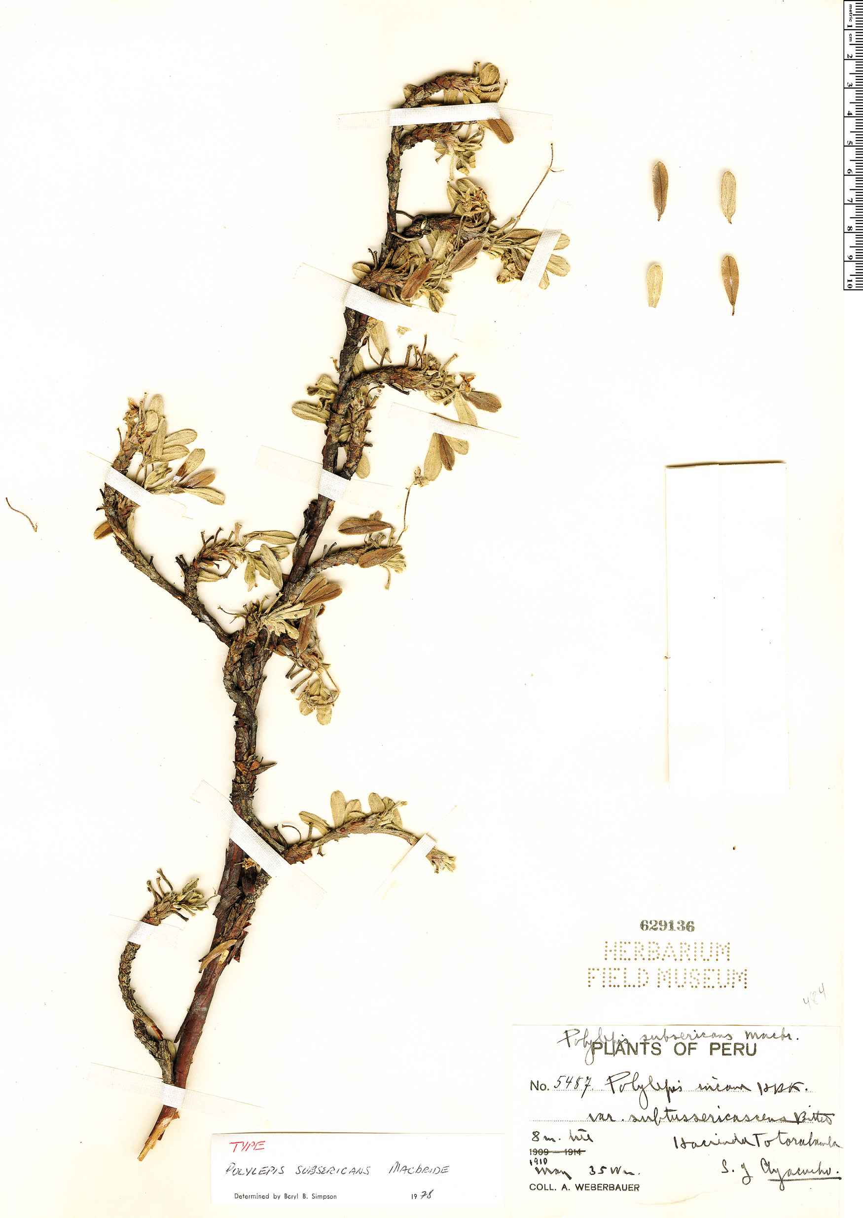 Specimen: Polylepis subsericans