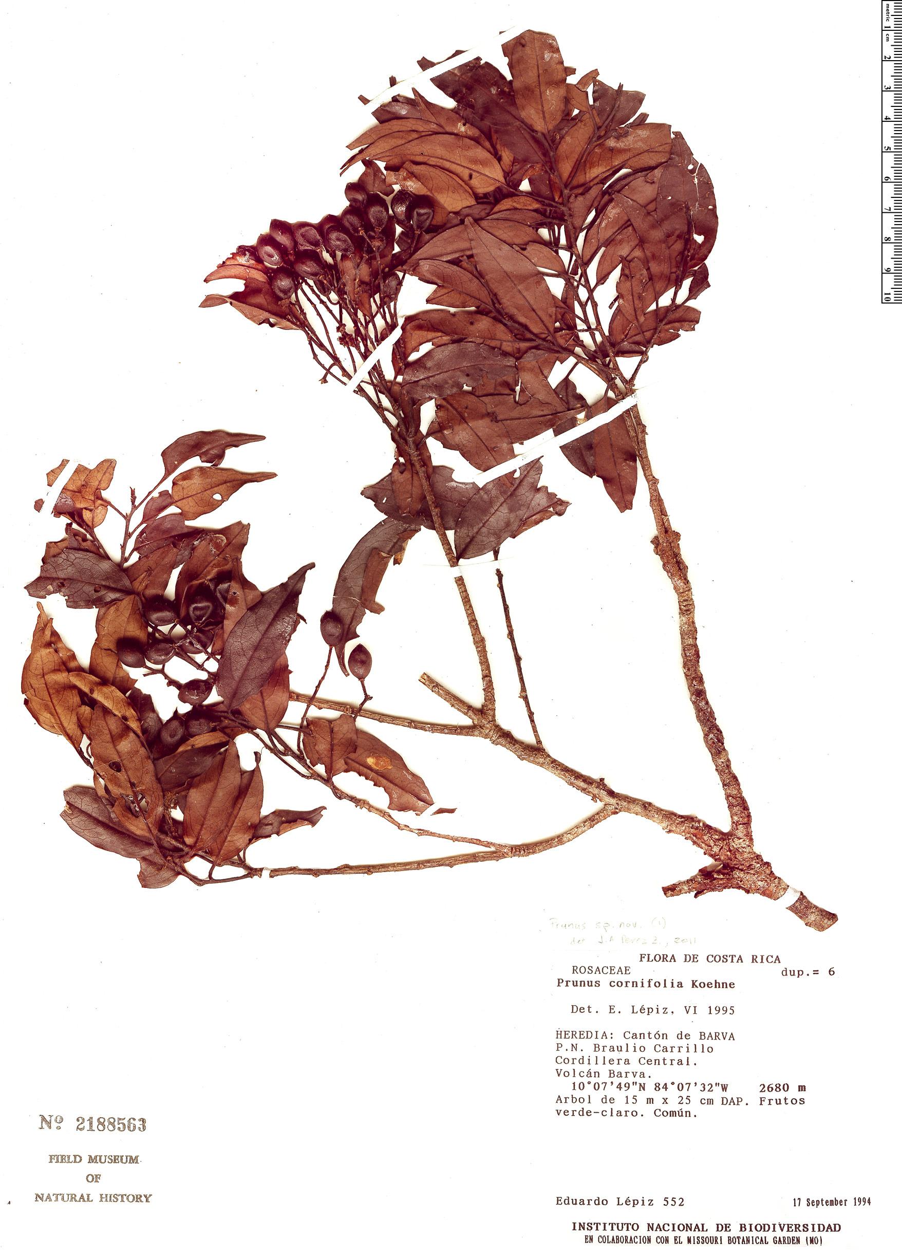 Specimen: Prunus