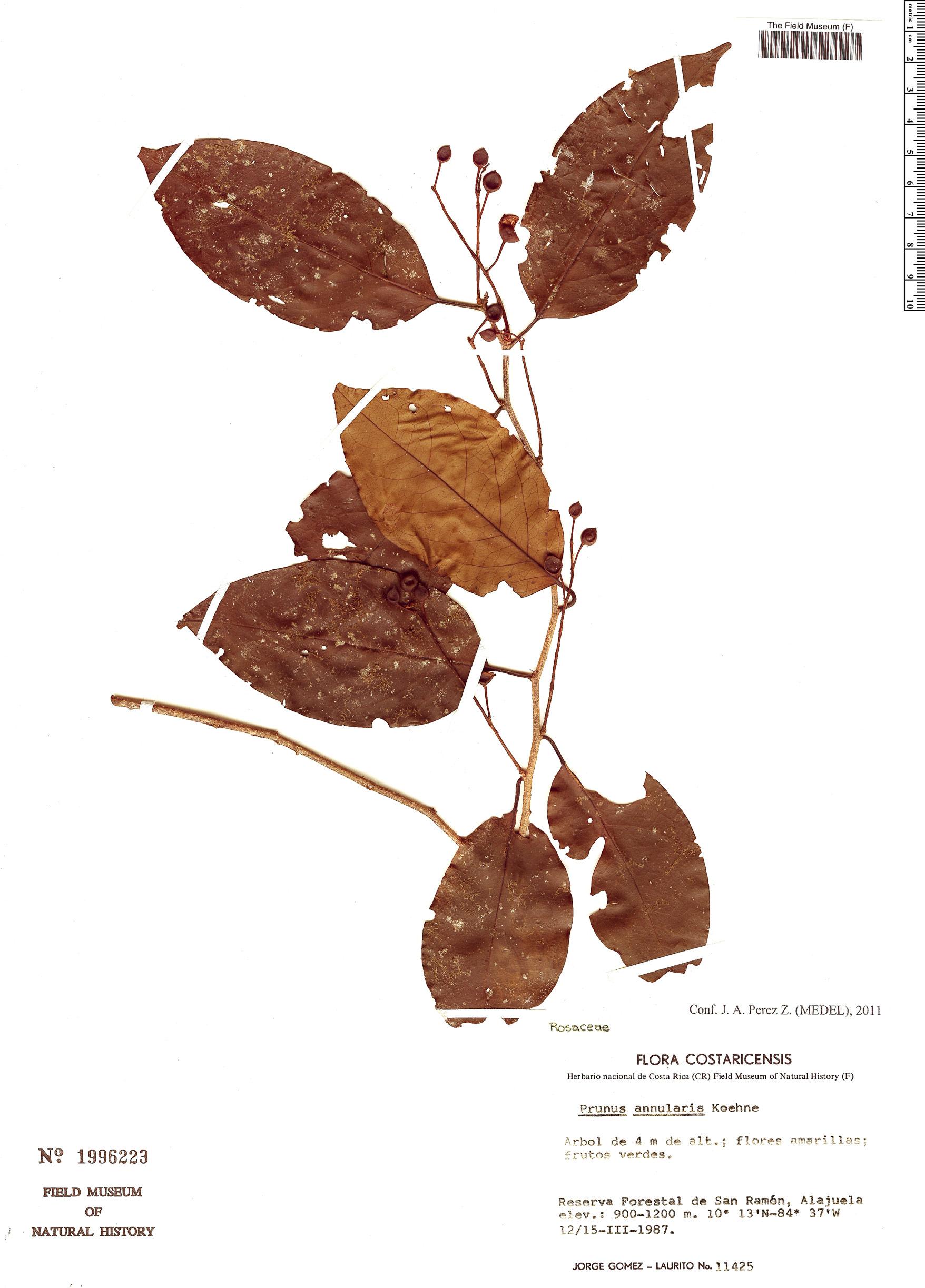 Specimen: Prunus annularis