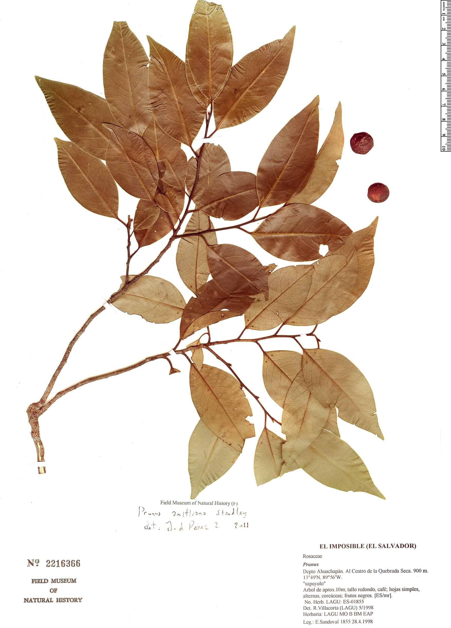 Espécime: Prunus axitliana