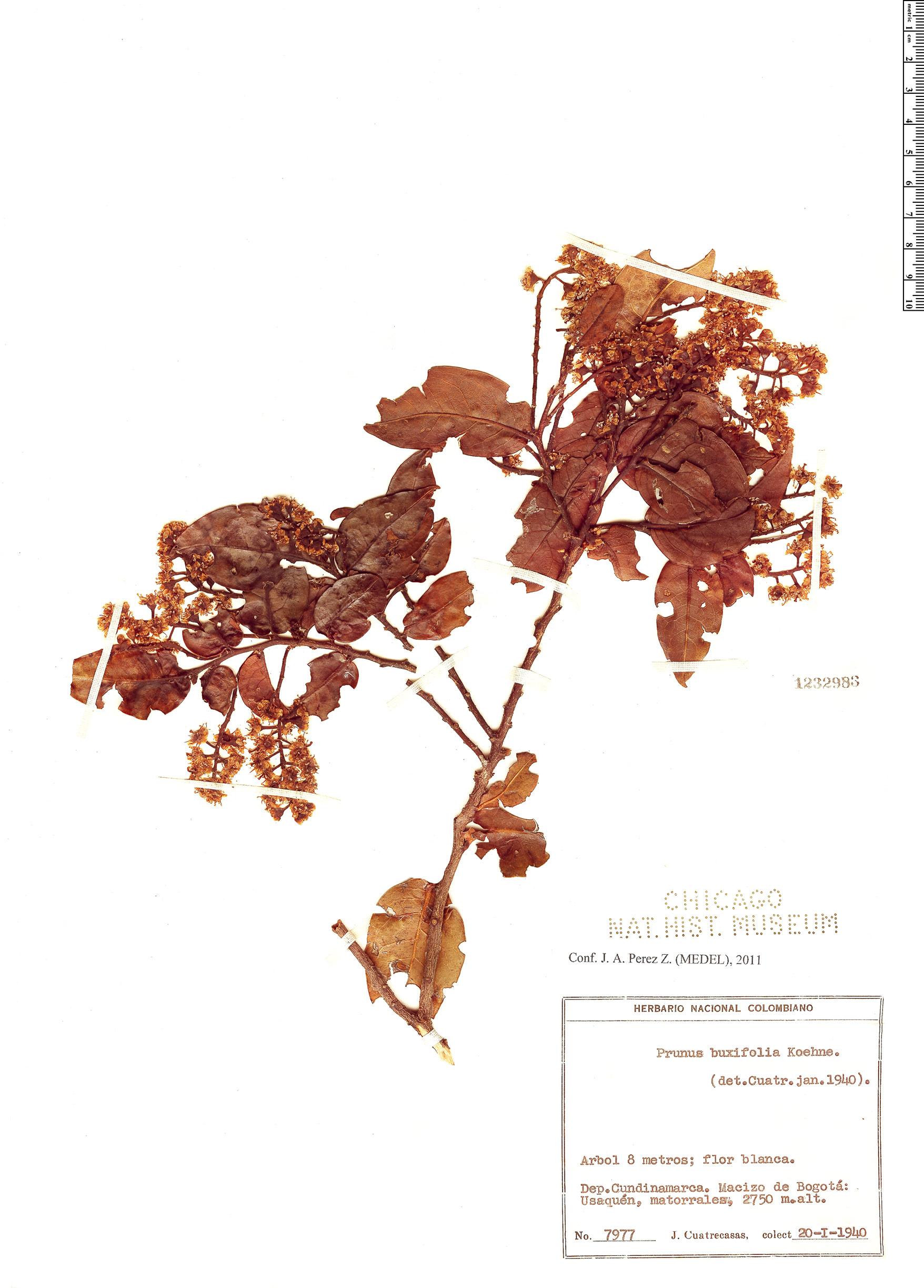 Espécimen: Prunus buxifolia