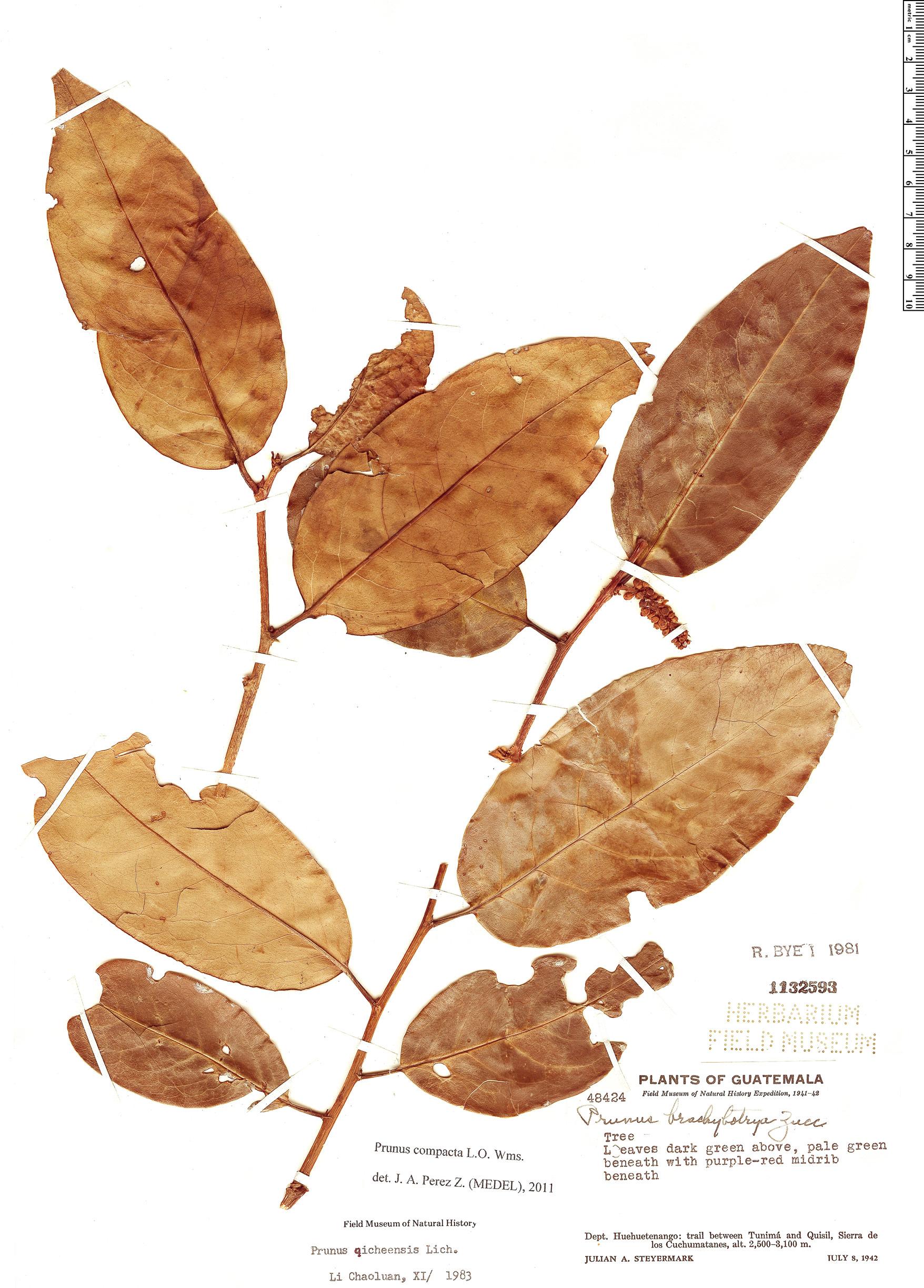Specimen: Prunus compacta