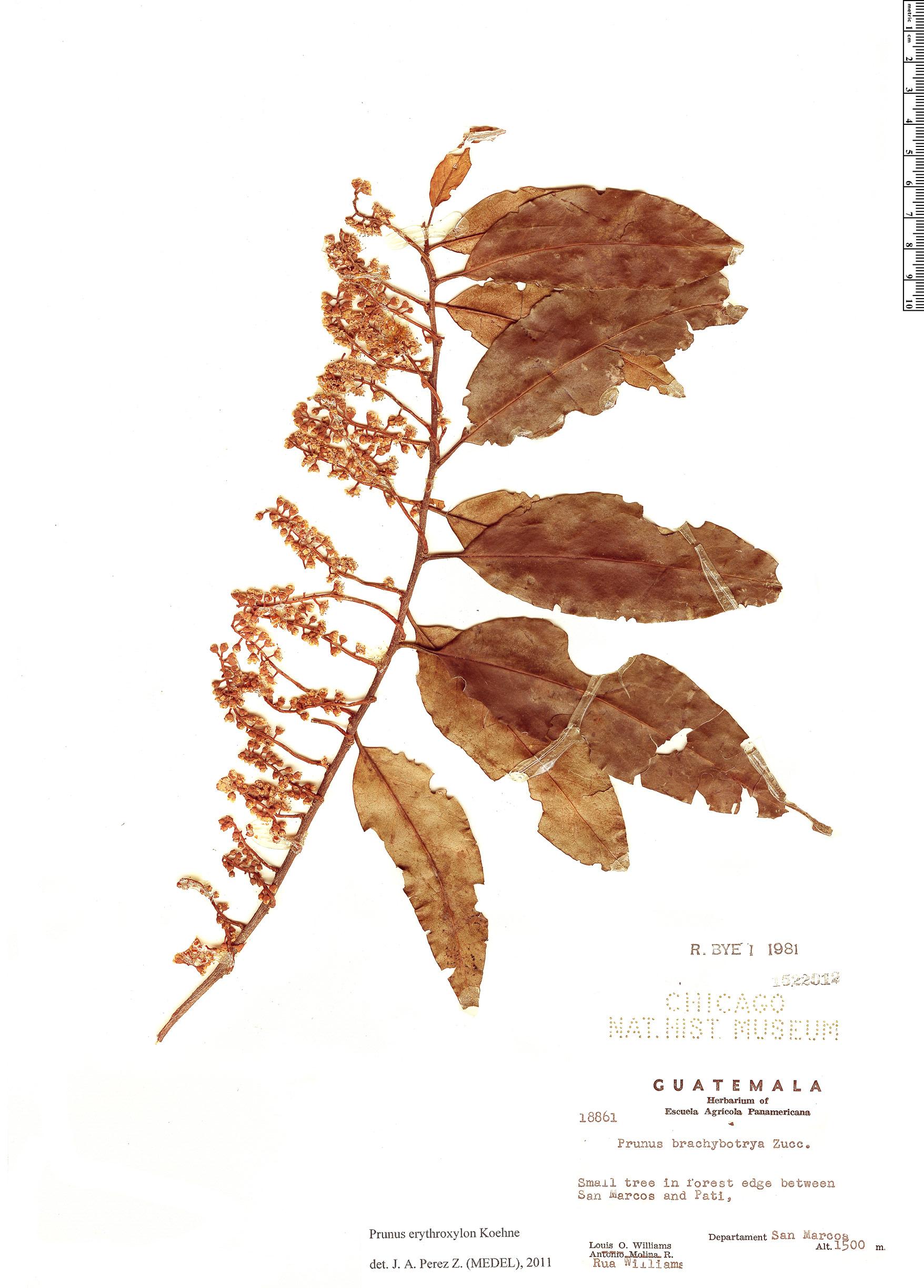 Specimen: Prunus erythroxylon