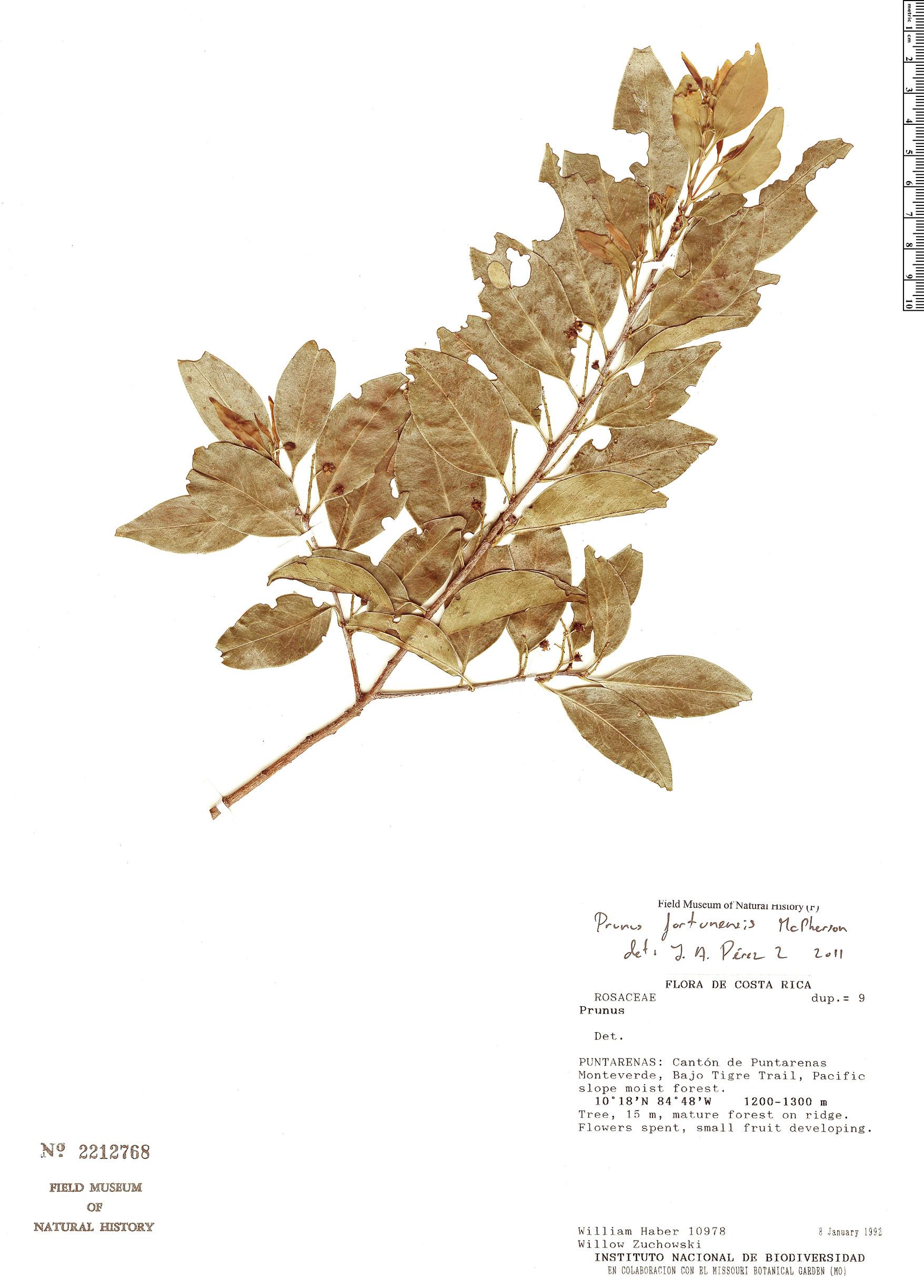 Specimen: Prunus fortunensis