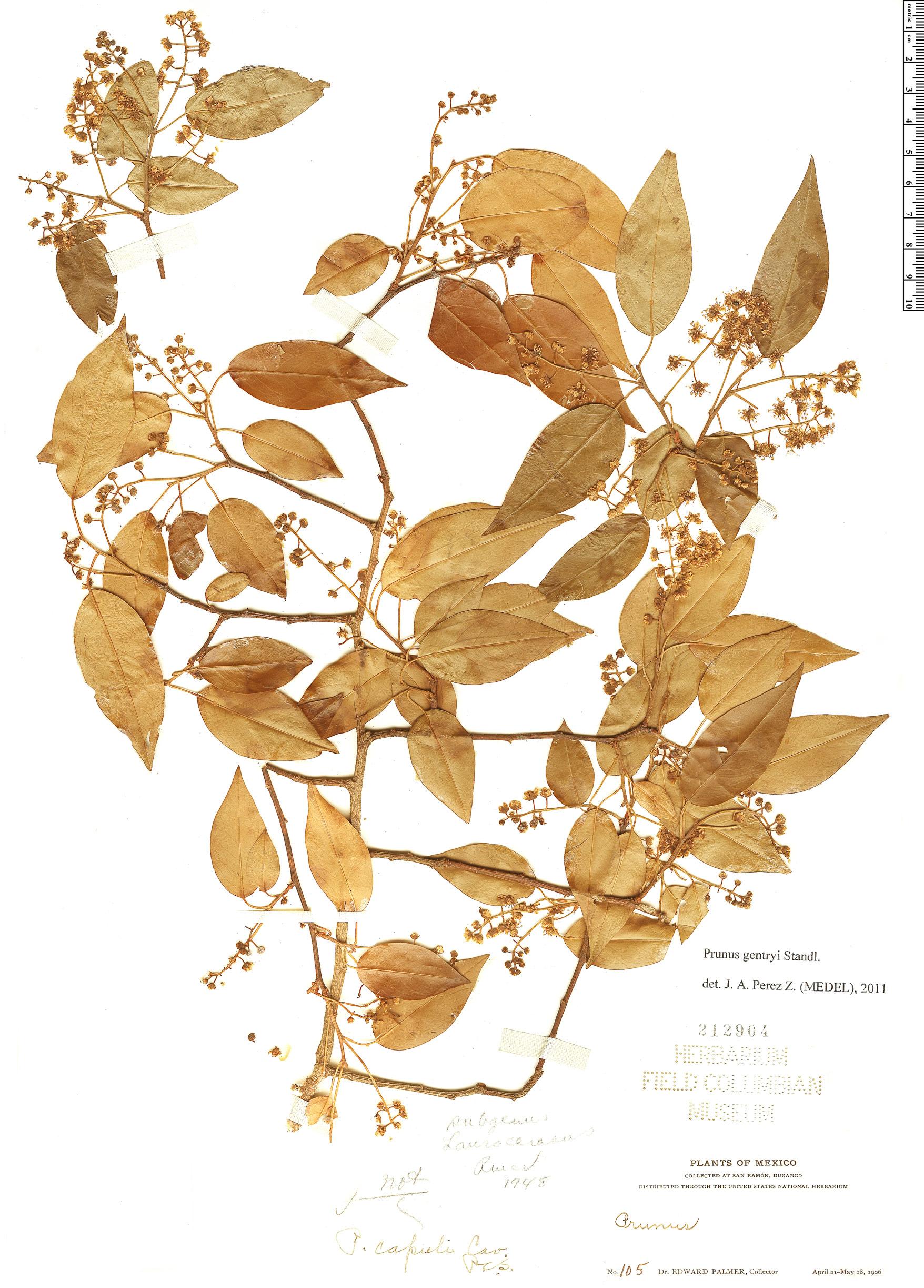 Specimen: Prunus gentryi