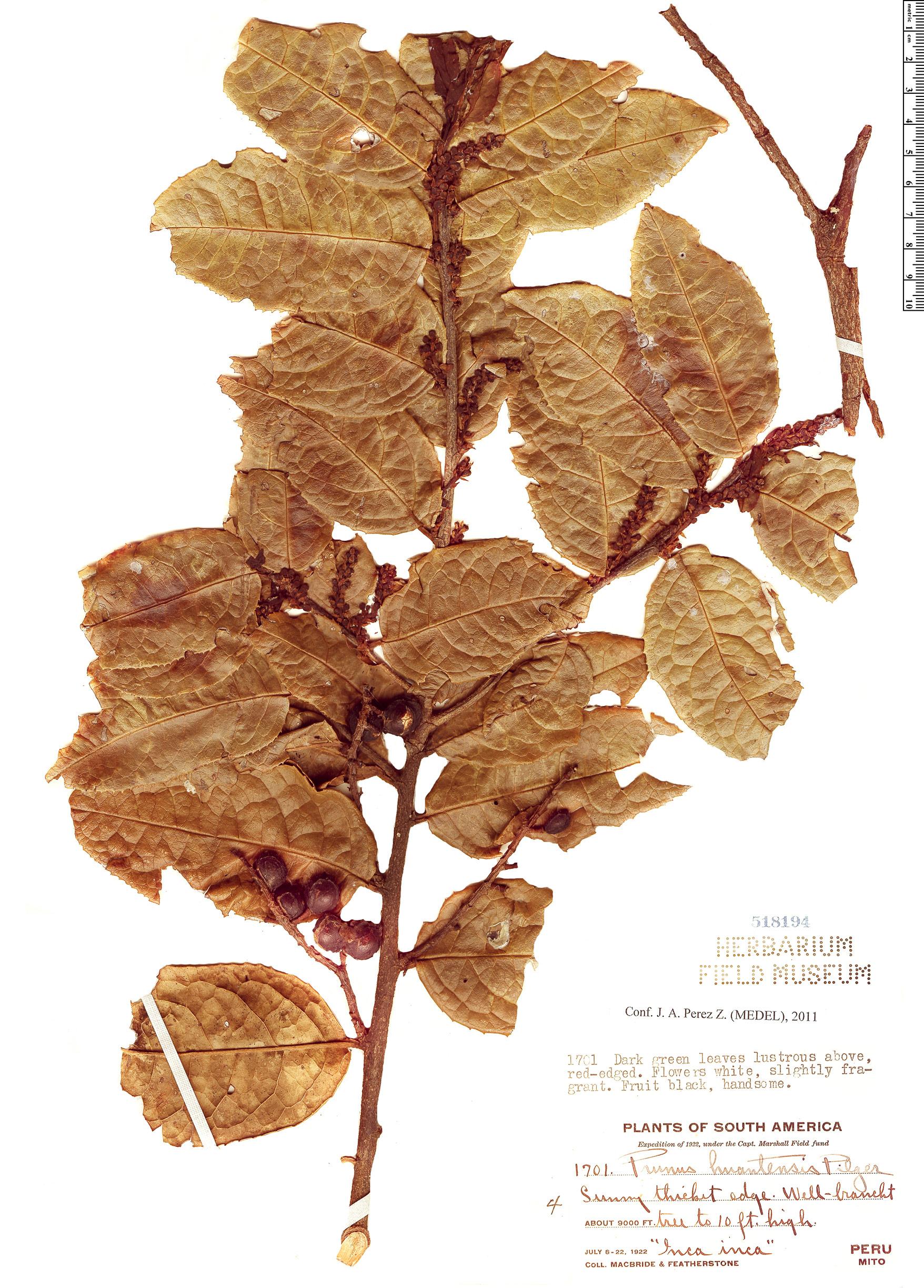 Specimen: Prunus huantensis