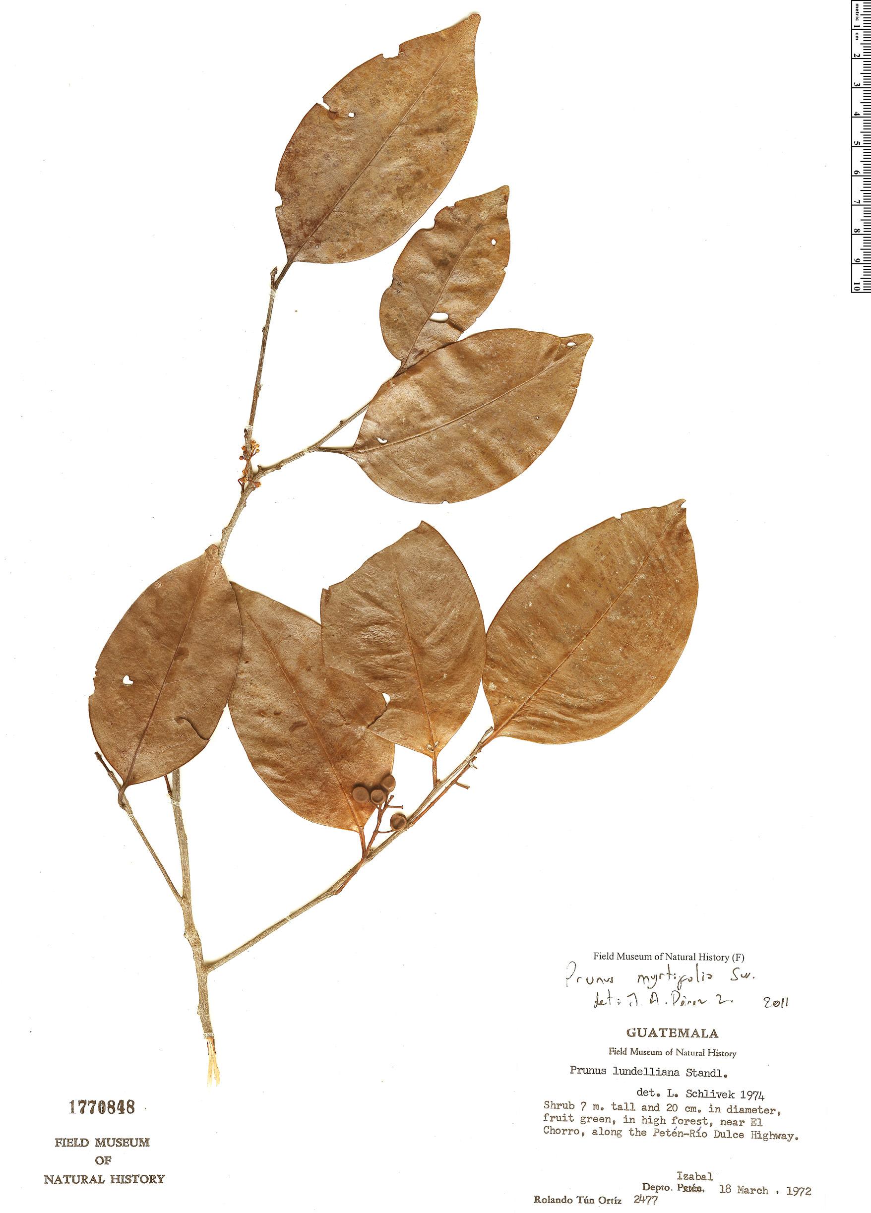 Specimen: Prunus myrtifolia