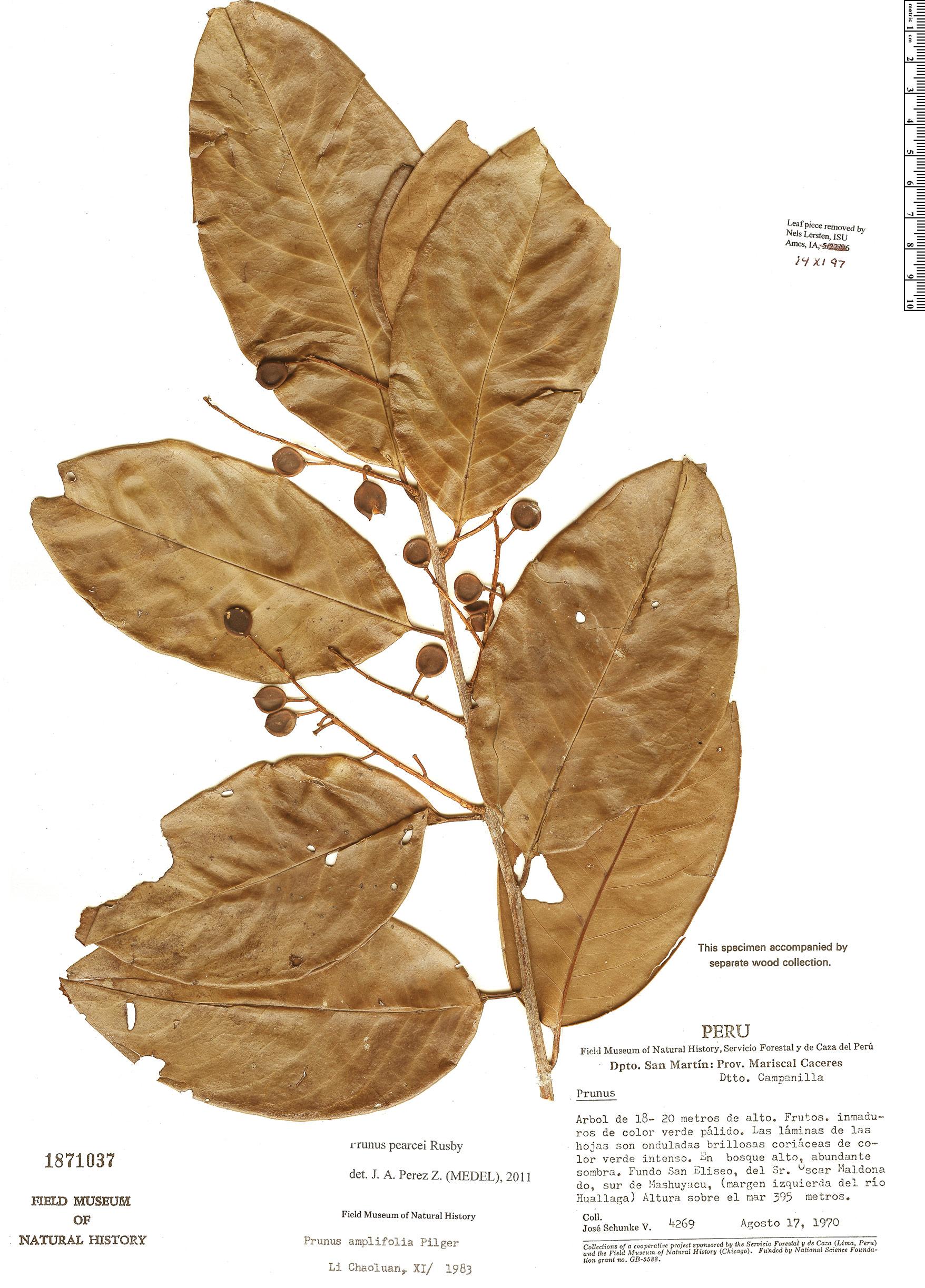 Specimen: Prunus pearcei