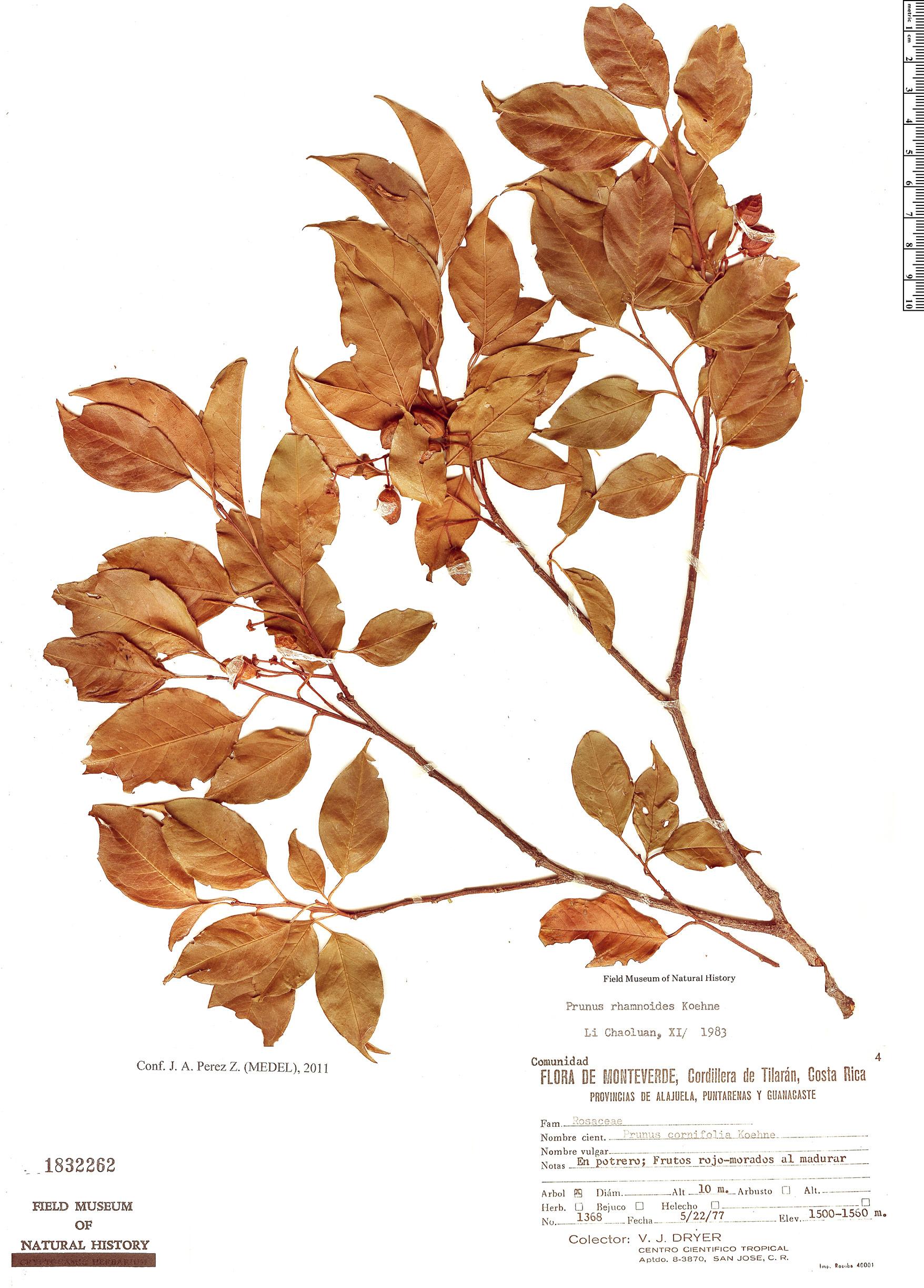 Specimen: Prunus rhamnoides