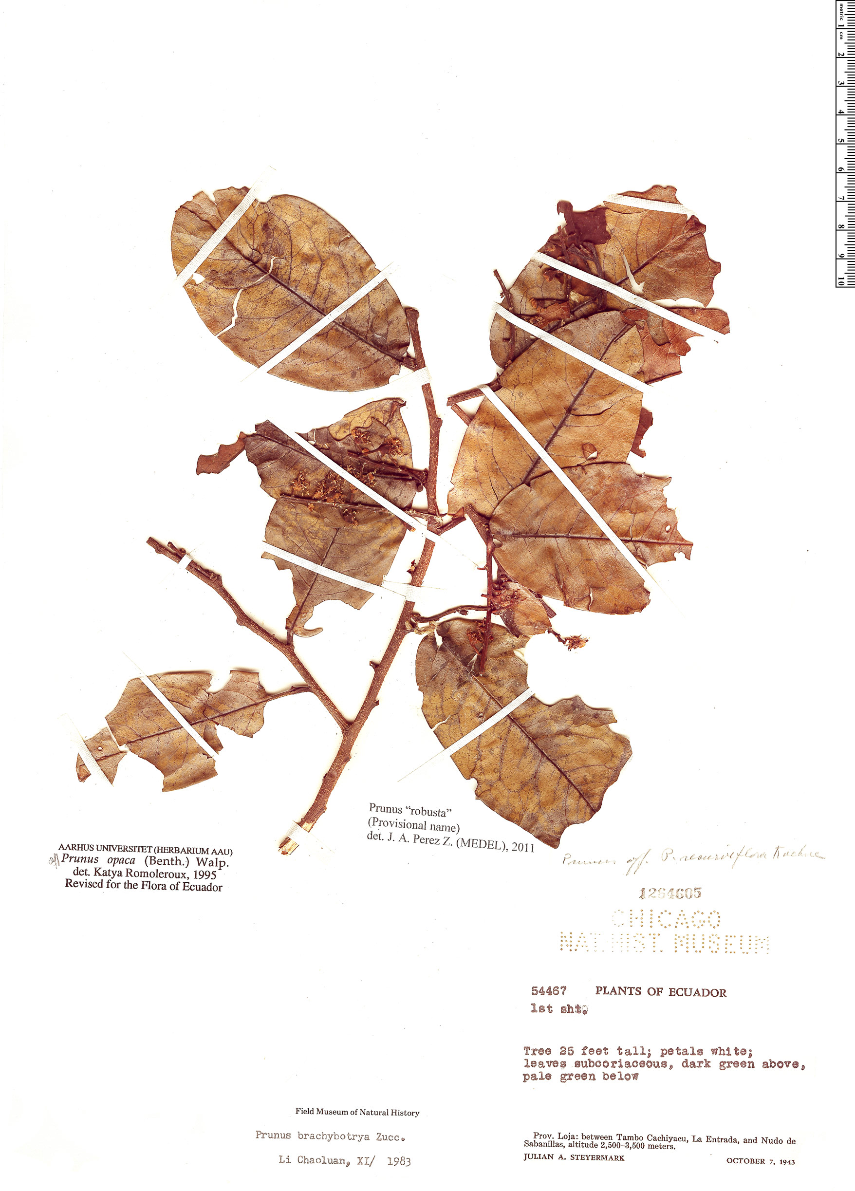 Specimen: Prunus robusta