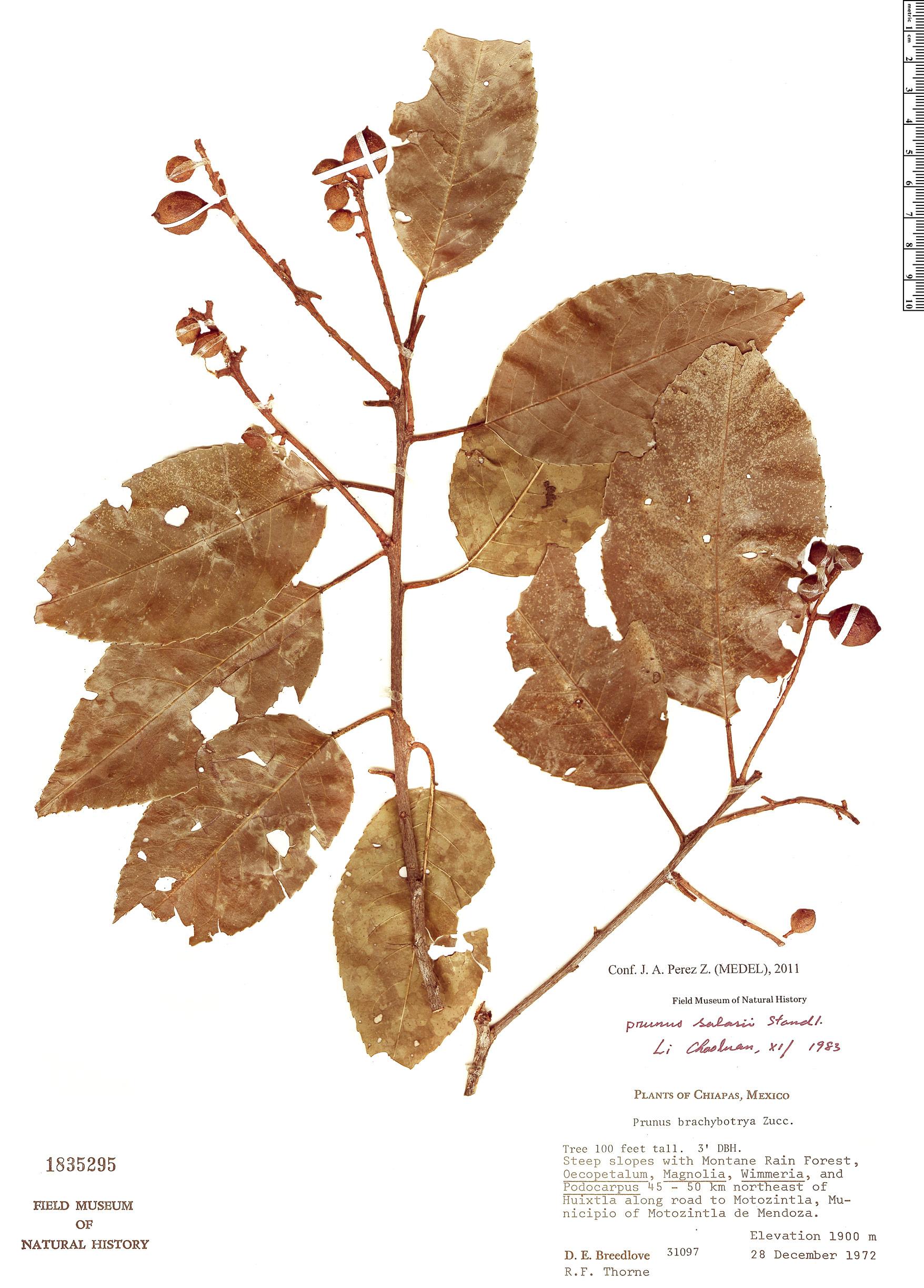 Specimen: Prunus salasii