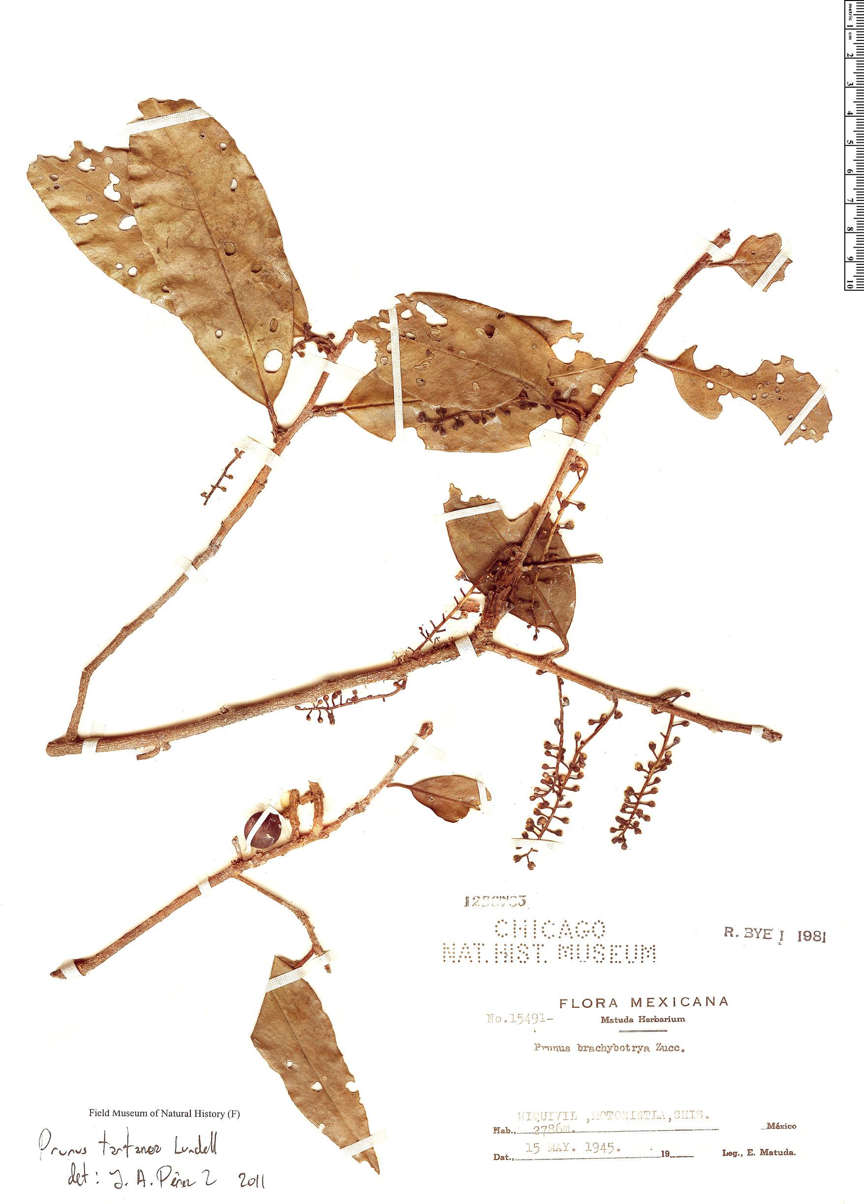 Specimen: Prunus tartarea