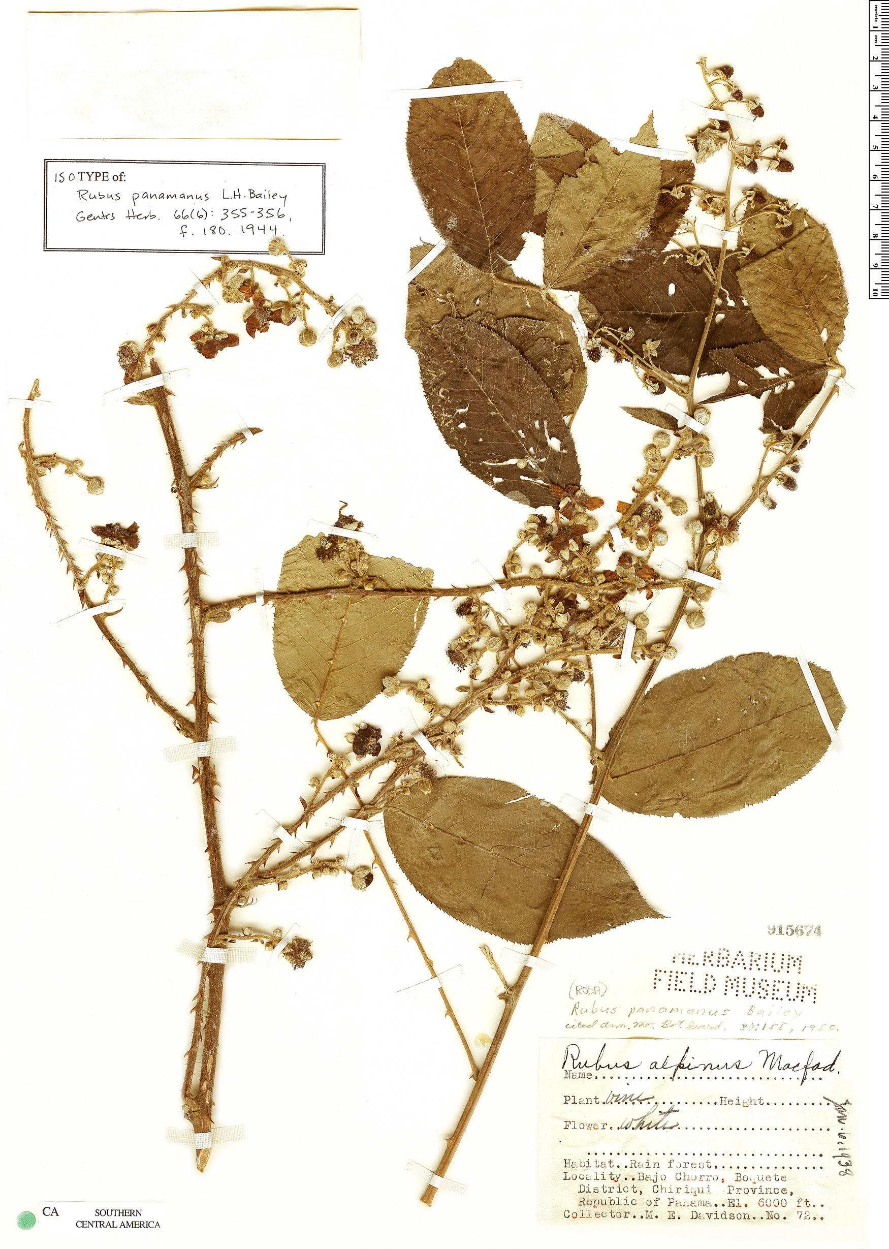 Specimen: Rubus panamanus