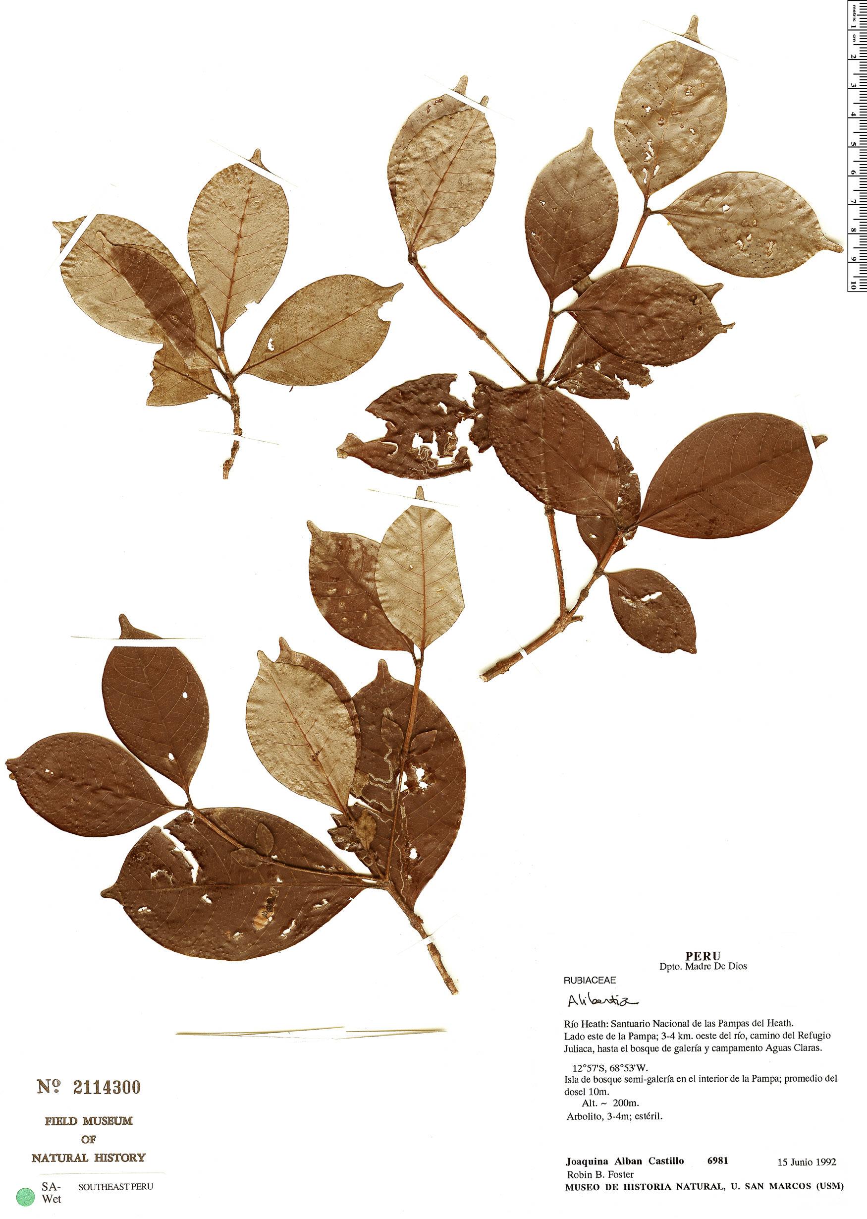 Espécime: Cordiera