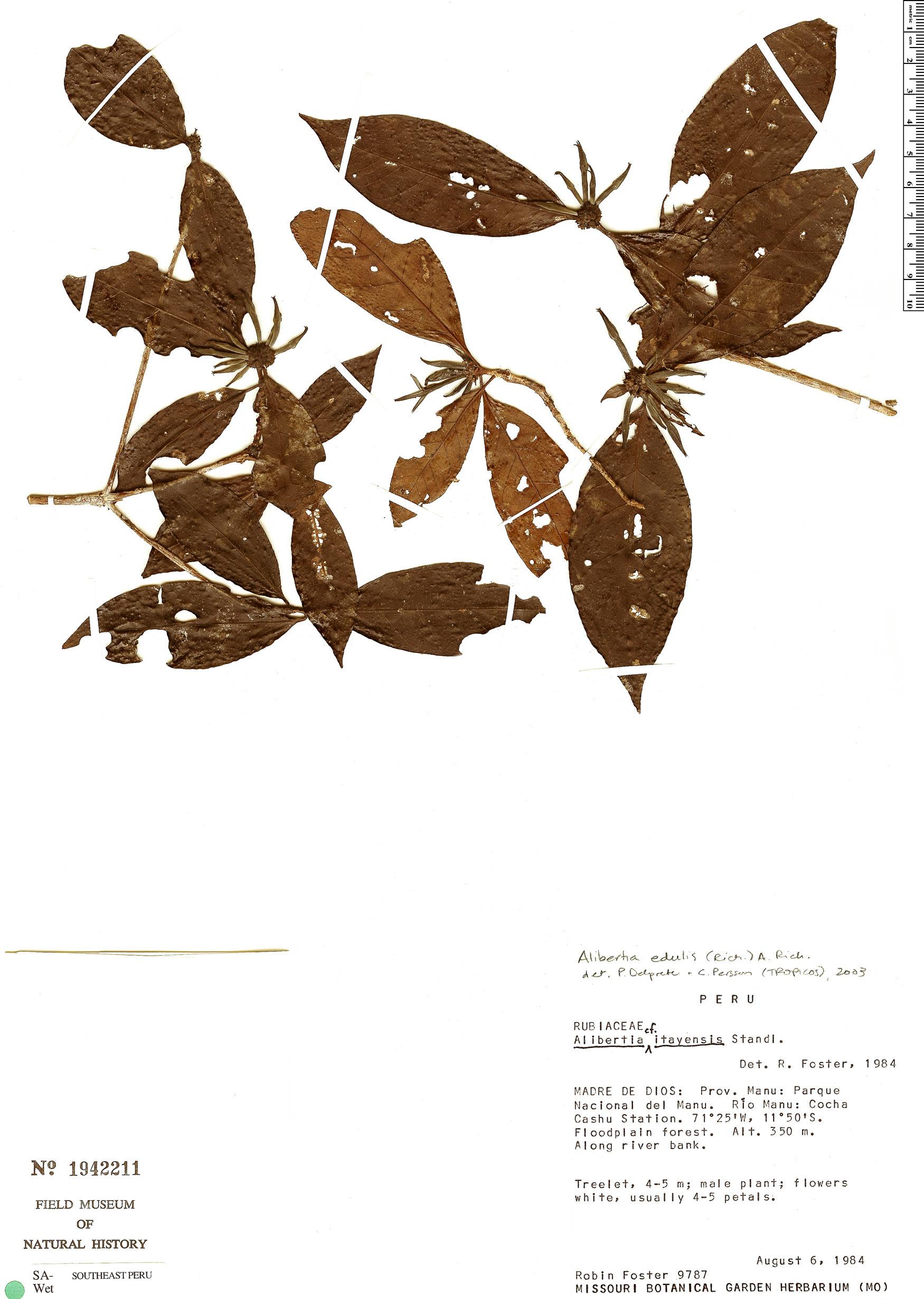 Specimen: Alibertia edulis