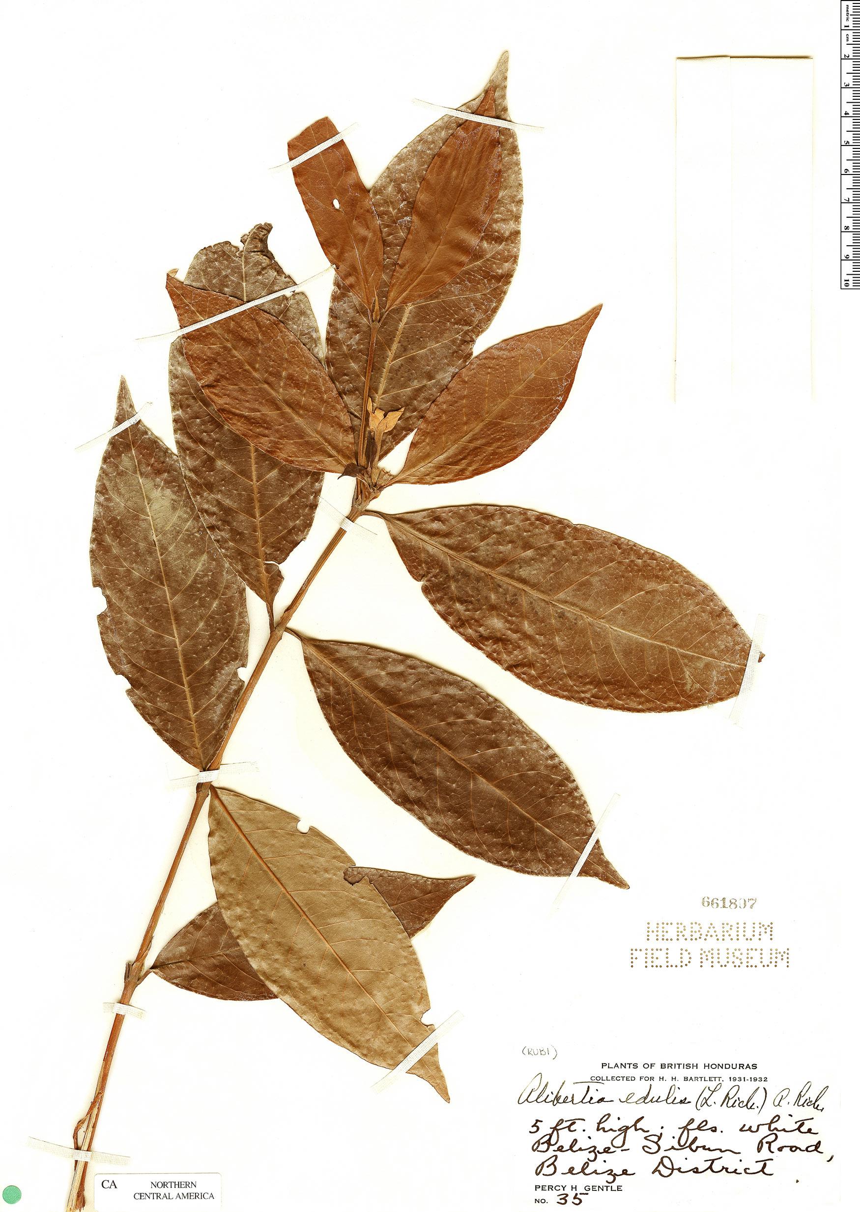 Espécime: Alibertia edulis