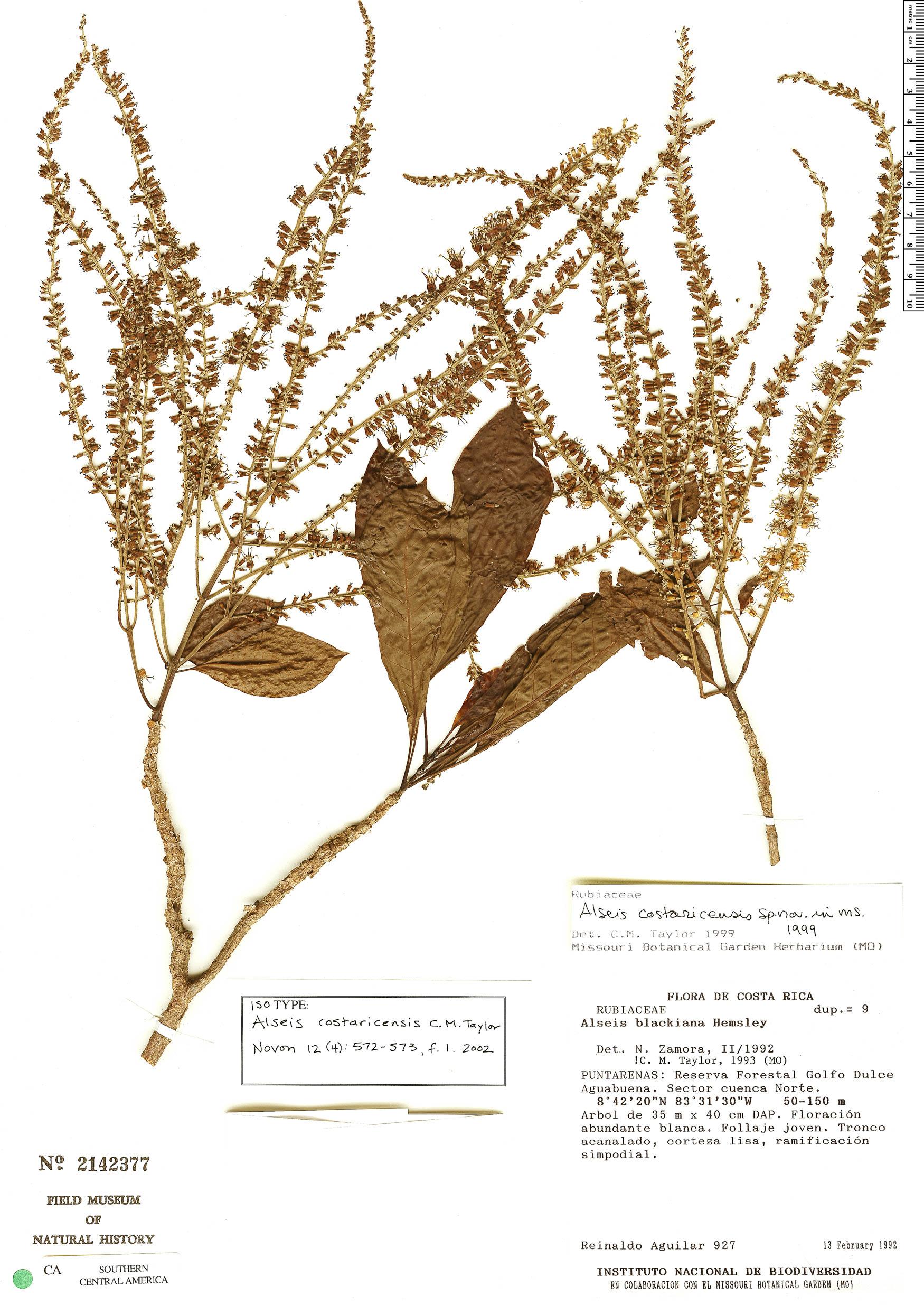 Specimen: Alseis costaricensis