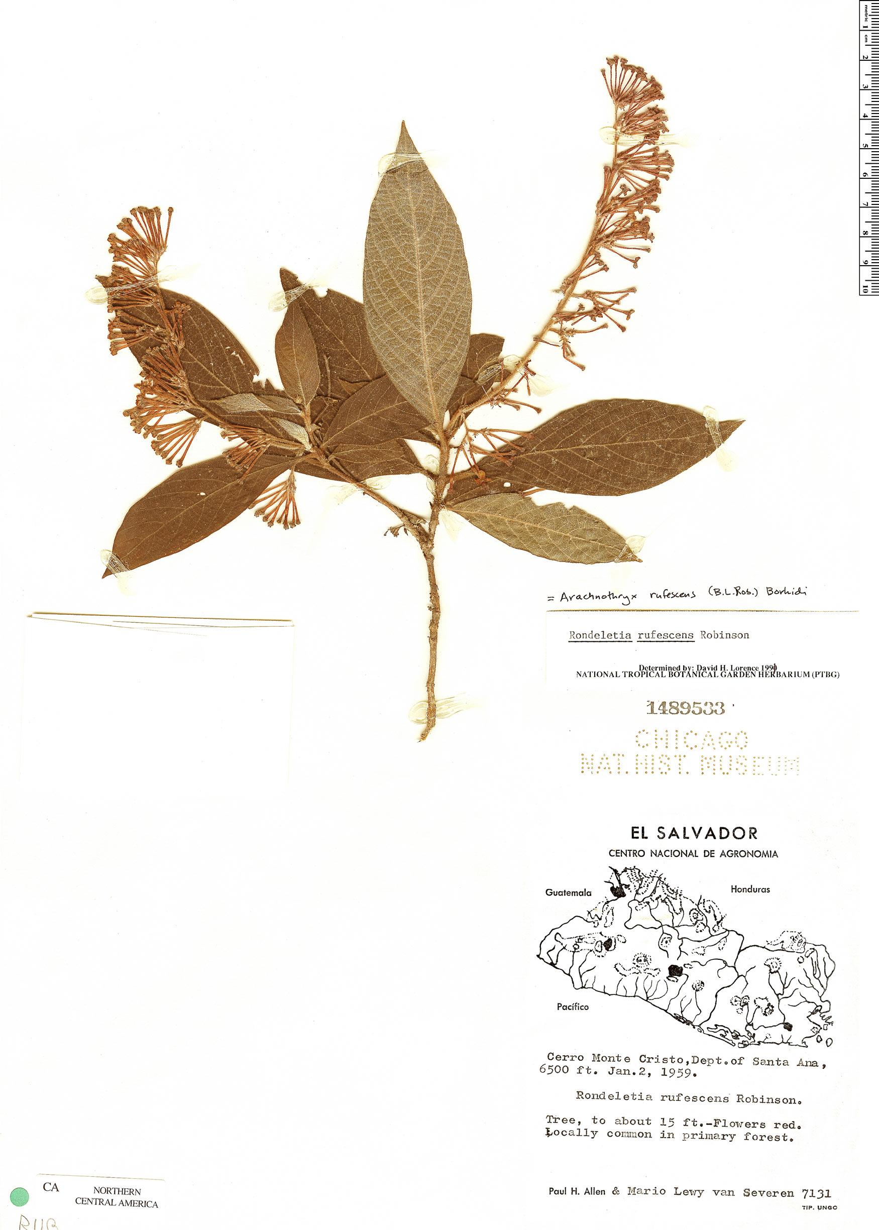 Specimen: Arachnothryx rufescens