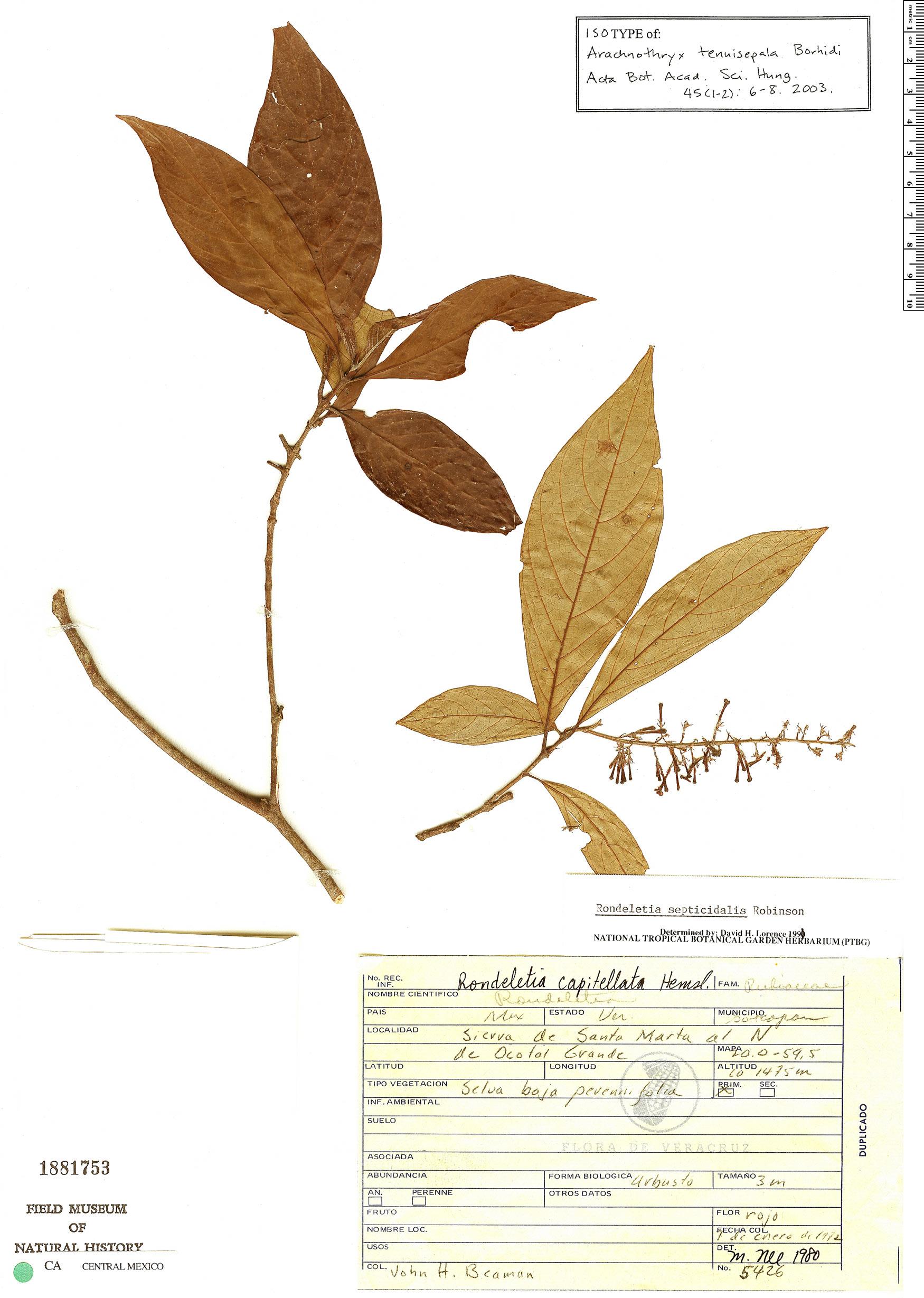 Specimen: Arachnothryx tenuisepala