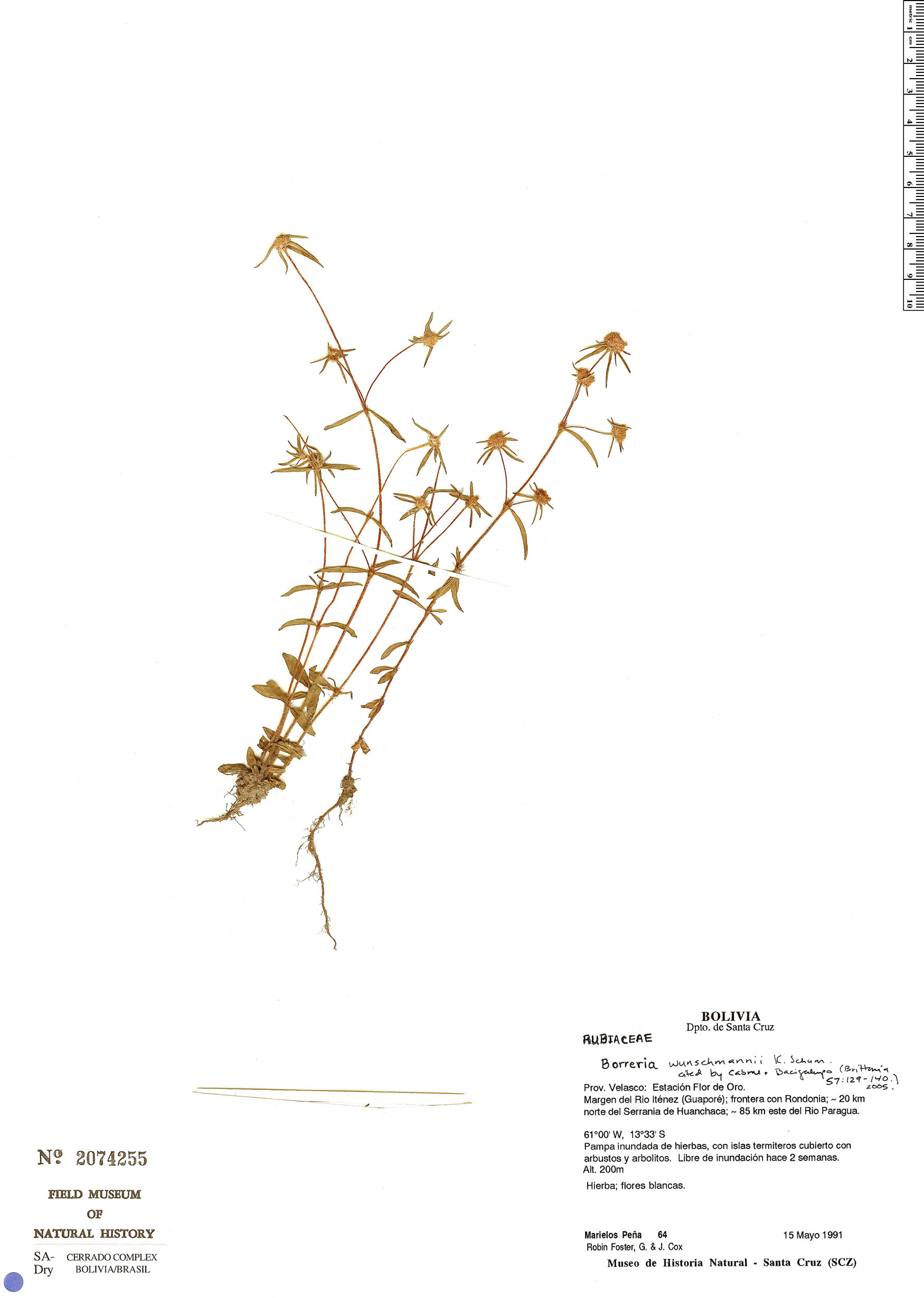 Specimen: Borreria wunschmannii
