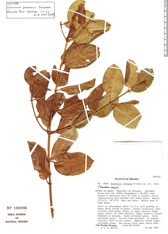 Specimen: Chiococca plowmanii