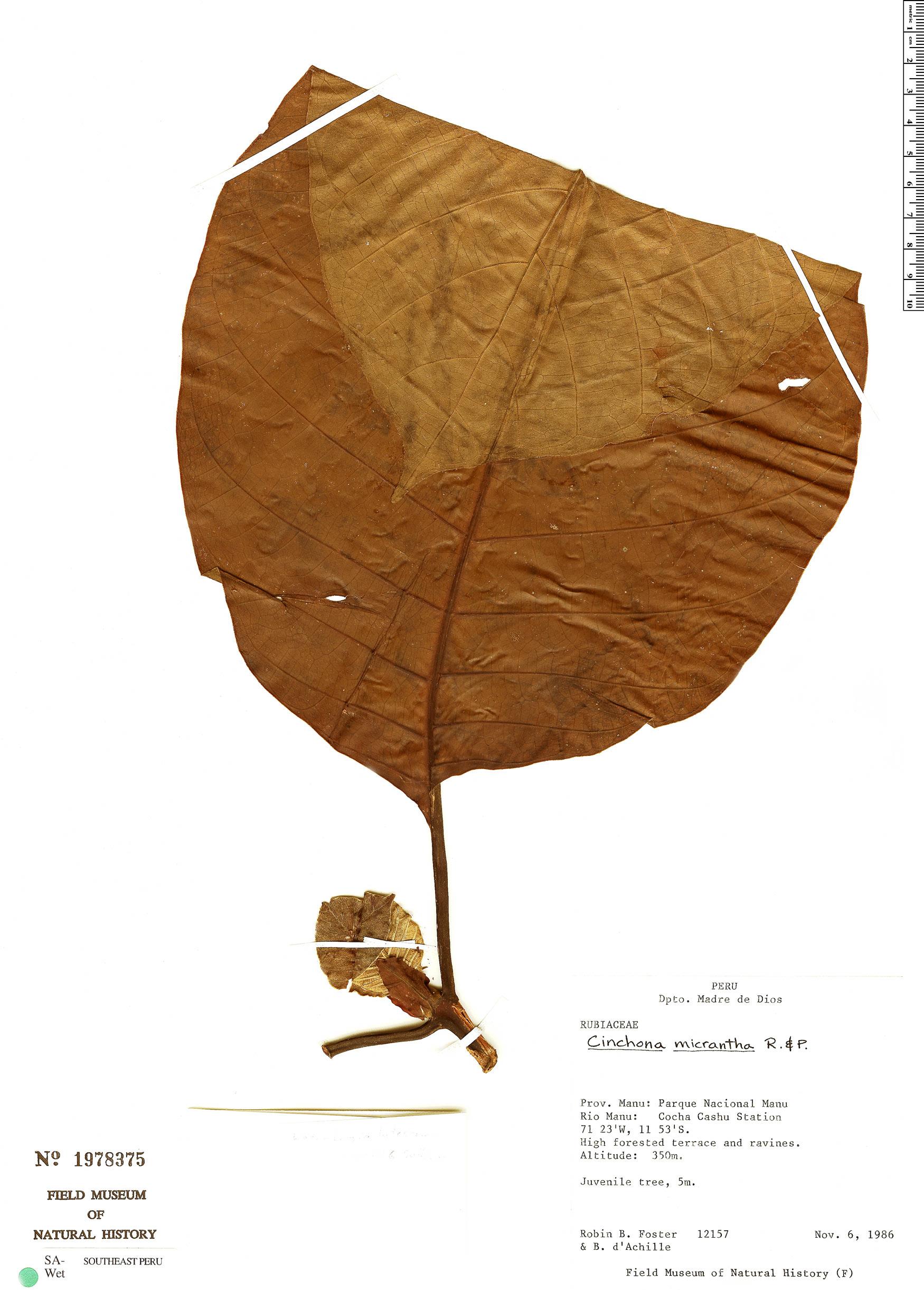 Specimen: Cinchona micrantha