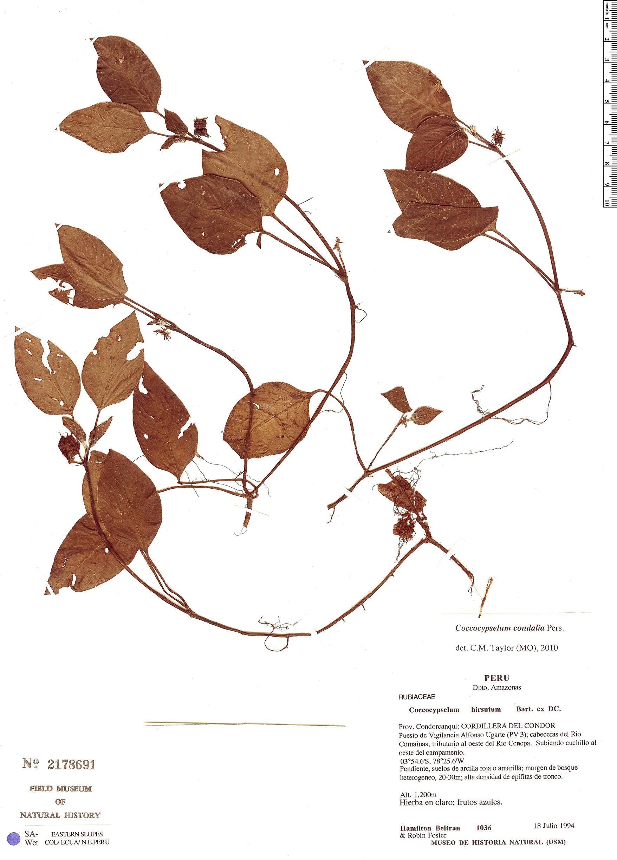 Specimen: Coccocypselum condalia