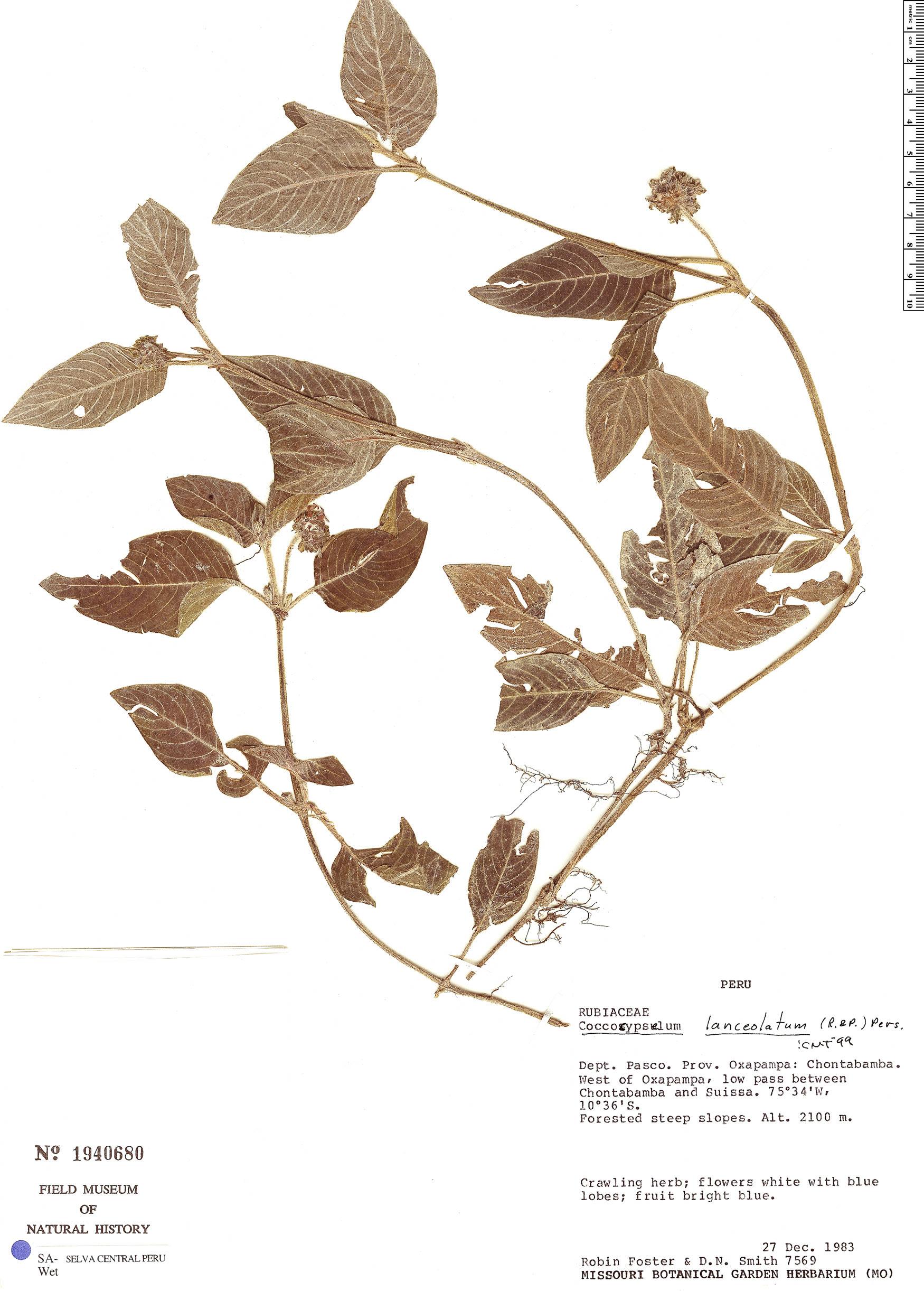 Specimen: Coccocypselum lanceolatum