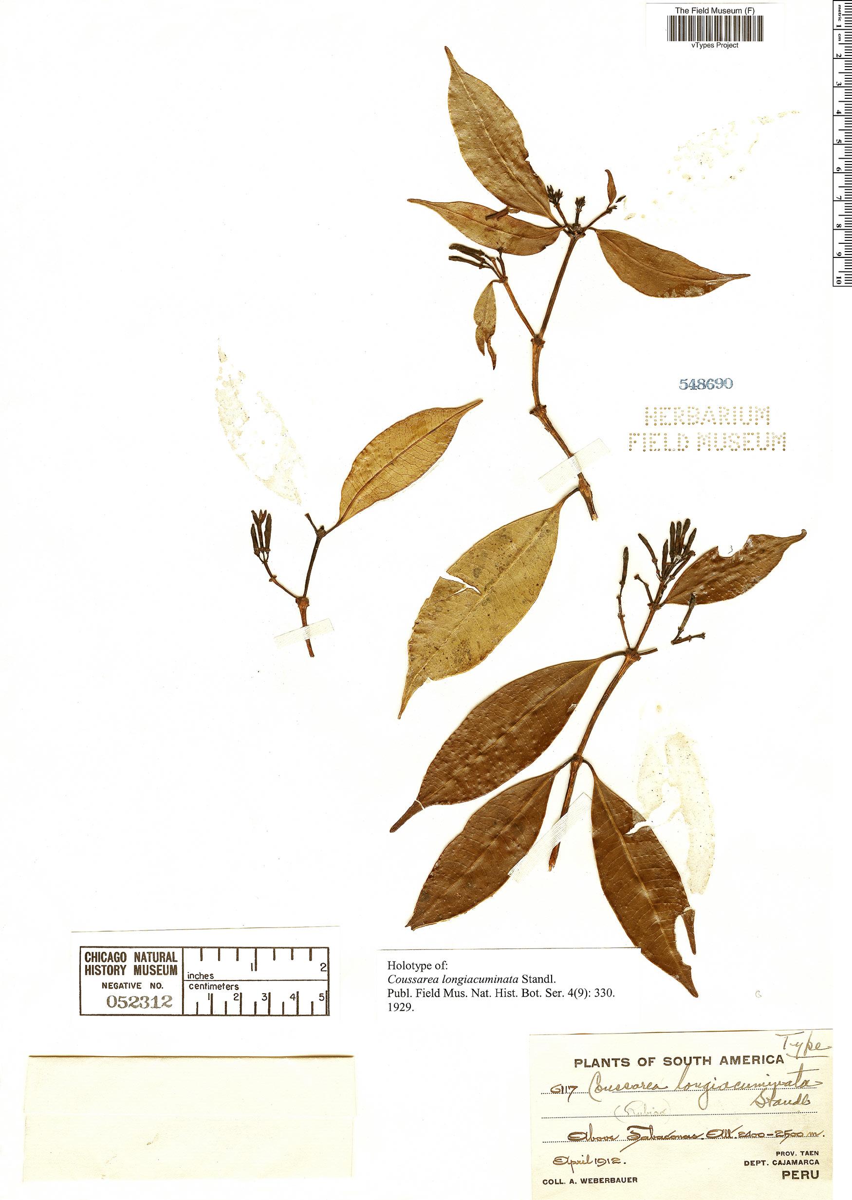 Specimen: Coussarea longiacuminata