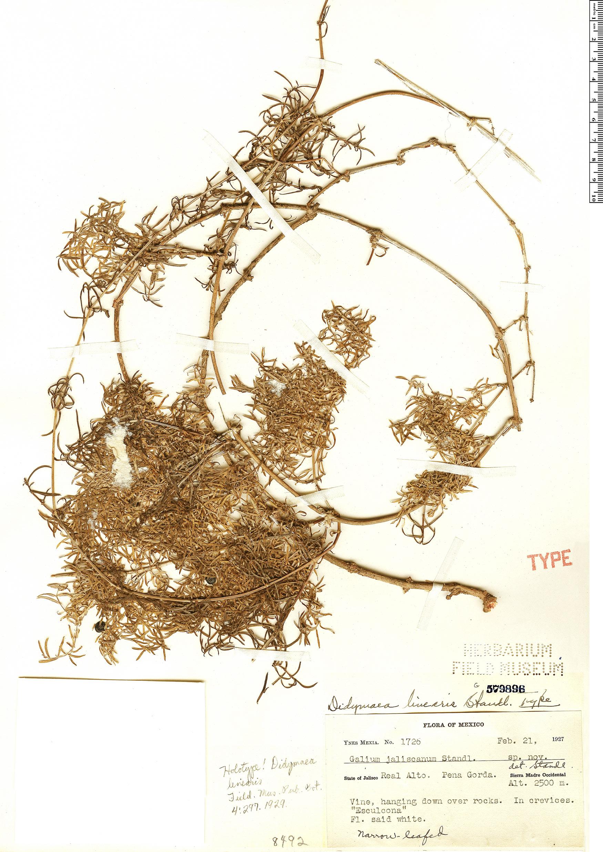 Specimen: Didymaea linearis