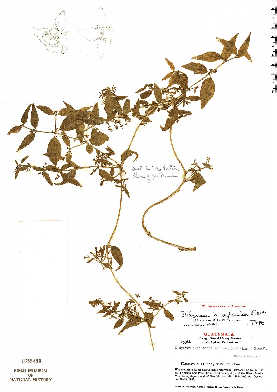 Espécime: Didymaea microflosculosa