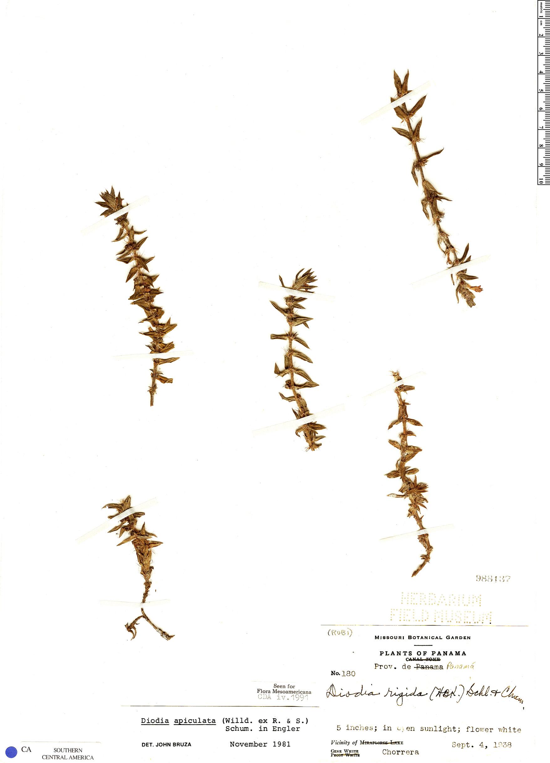 Specimen: Hexasepalum apiculatum