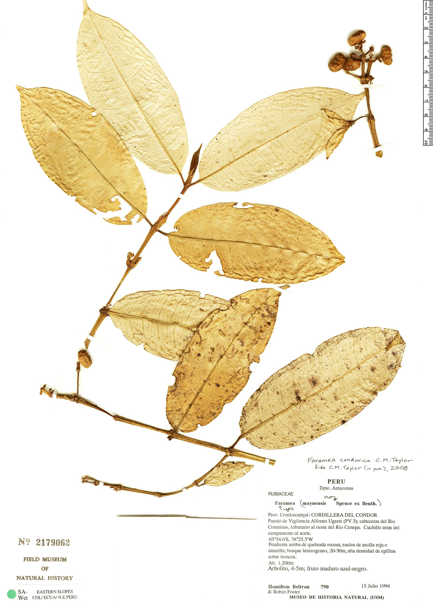 Specimen: Faramea condorica