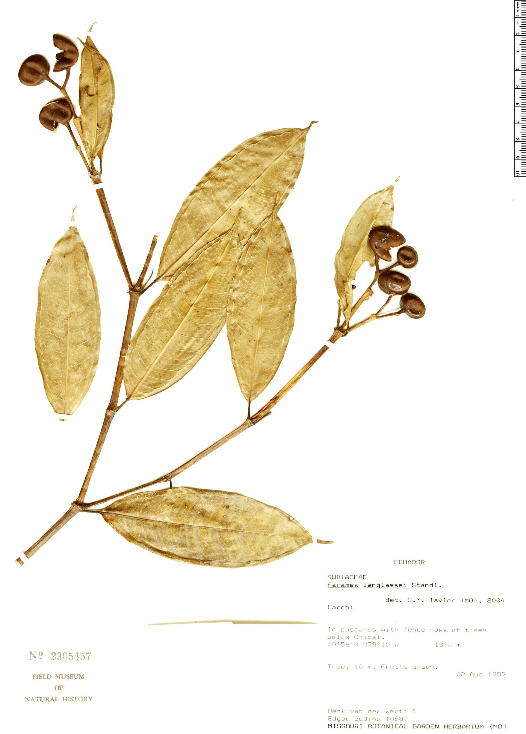 Specimen: Faramea langlassei
