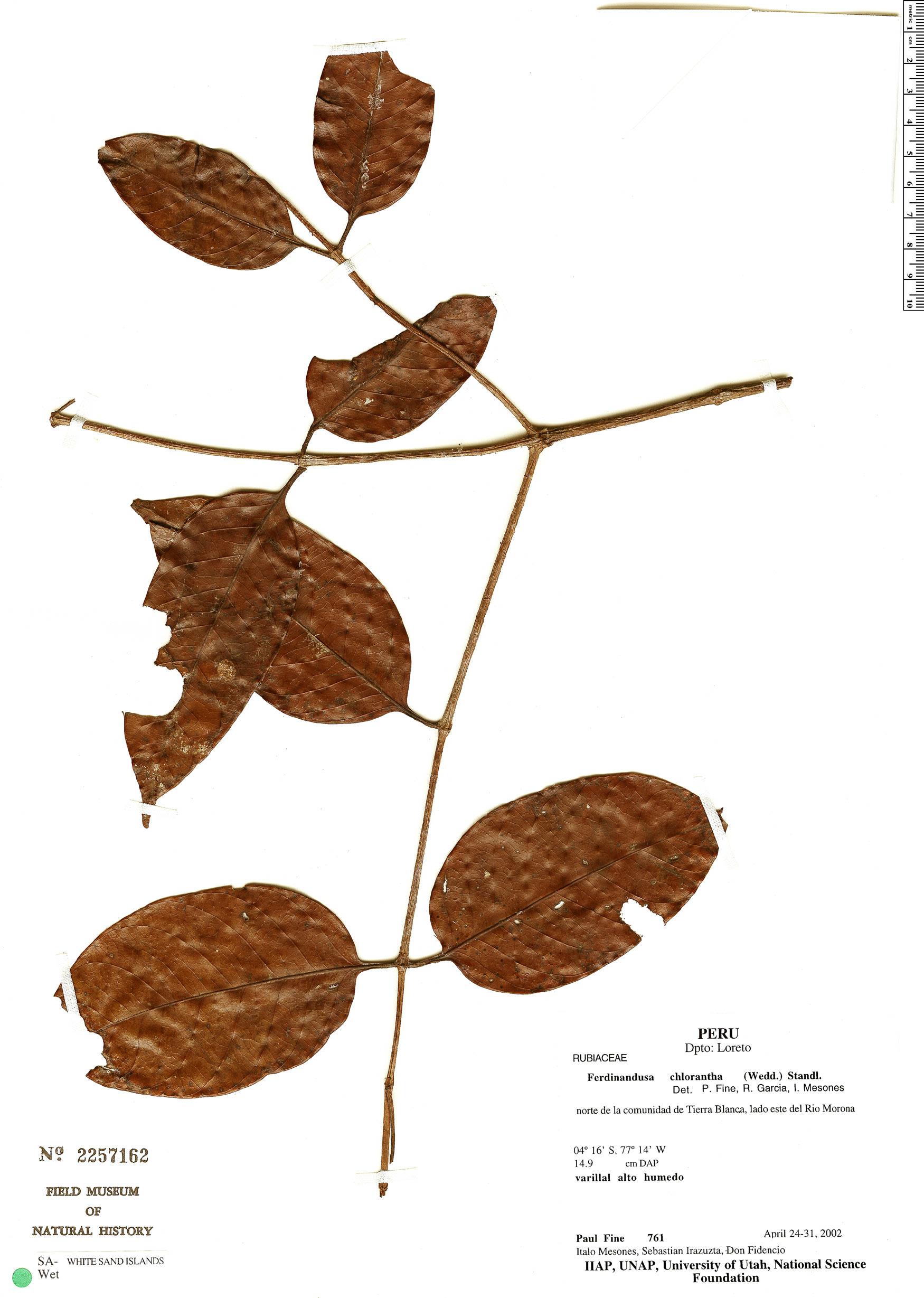 Espécime: Ferdinandusa chlorantha