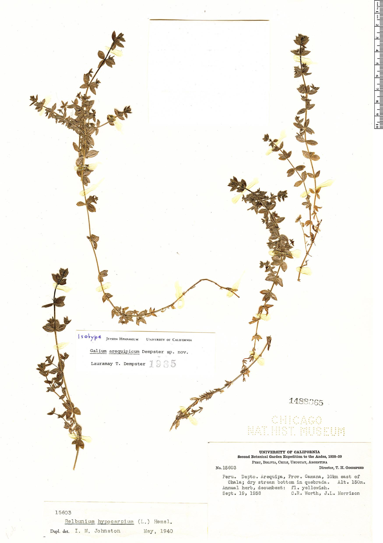 Specimen: Galium arequipicum