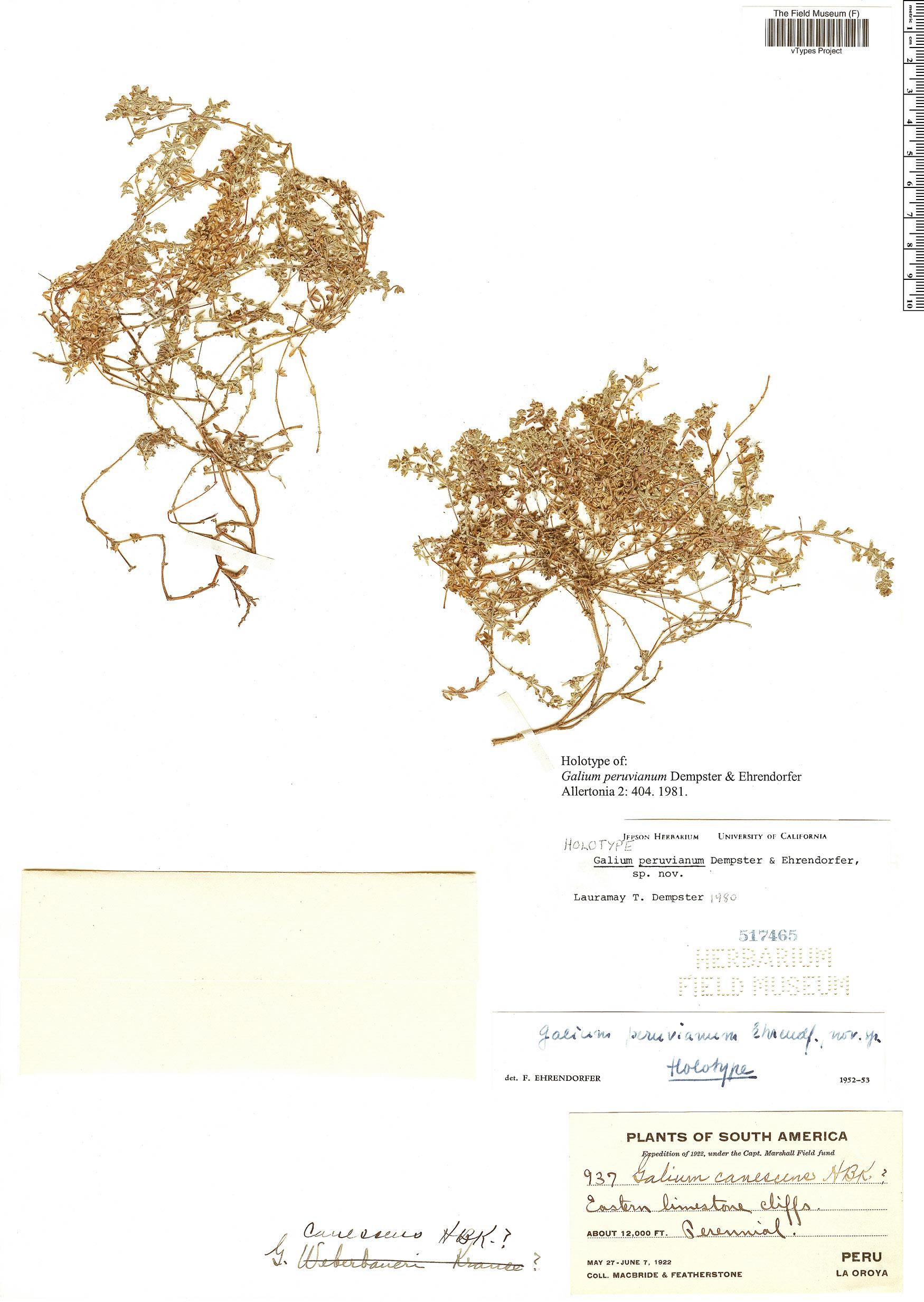 Specimen: Galium peruvianum
