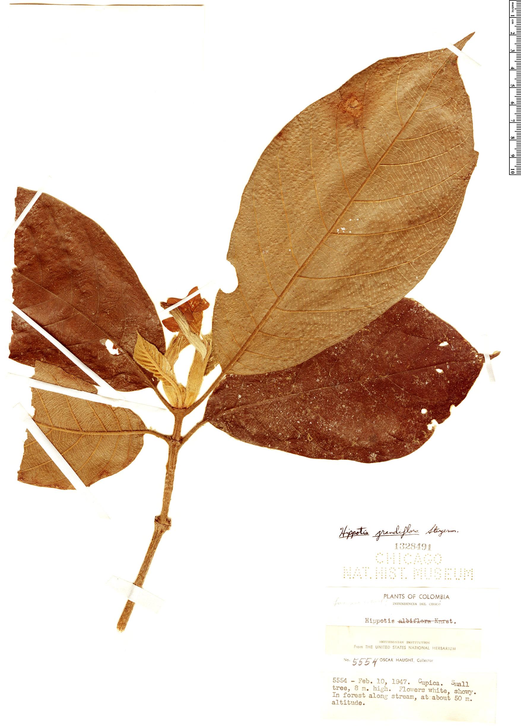 Specimen: Hippotis grandiflora