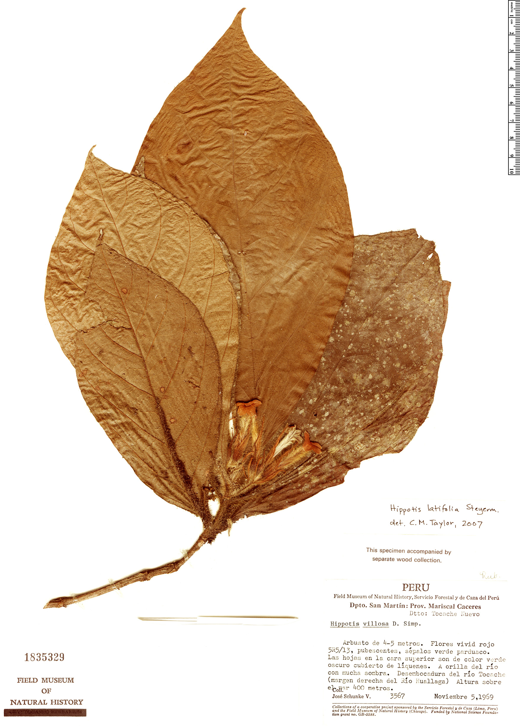 Specimen: Hippotis hirsutissima