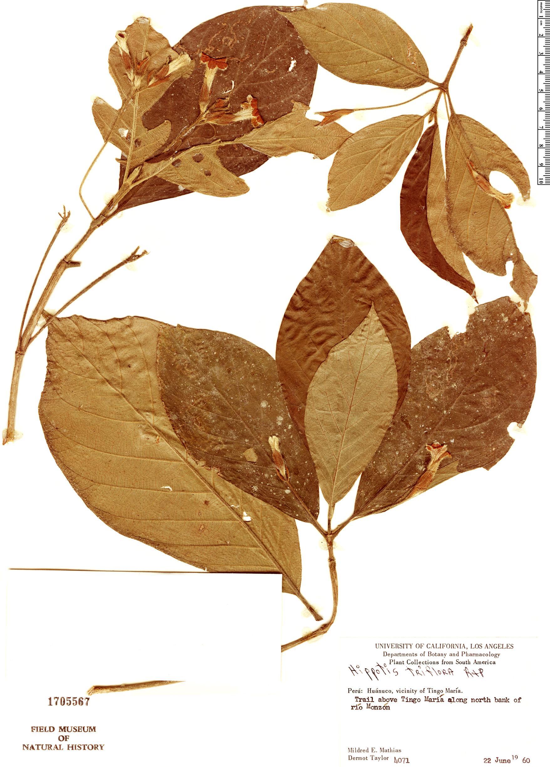 Specimen: Hippotis triflora