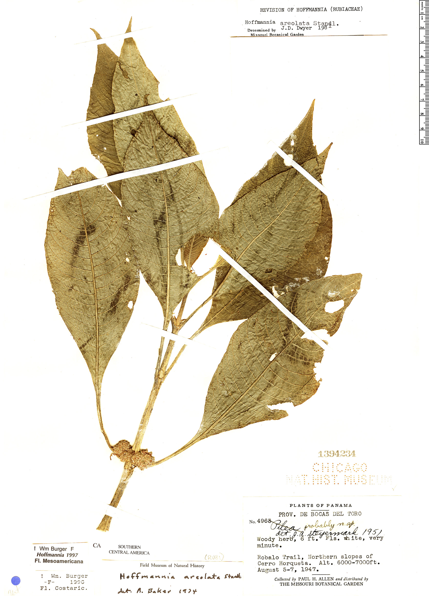 Specimen: Hoffmannia areolata