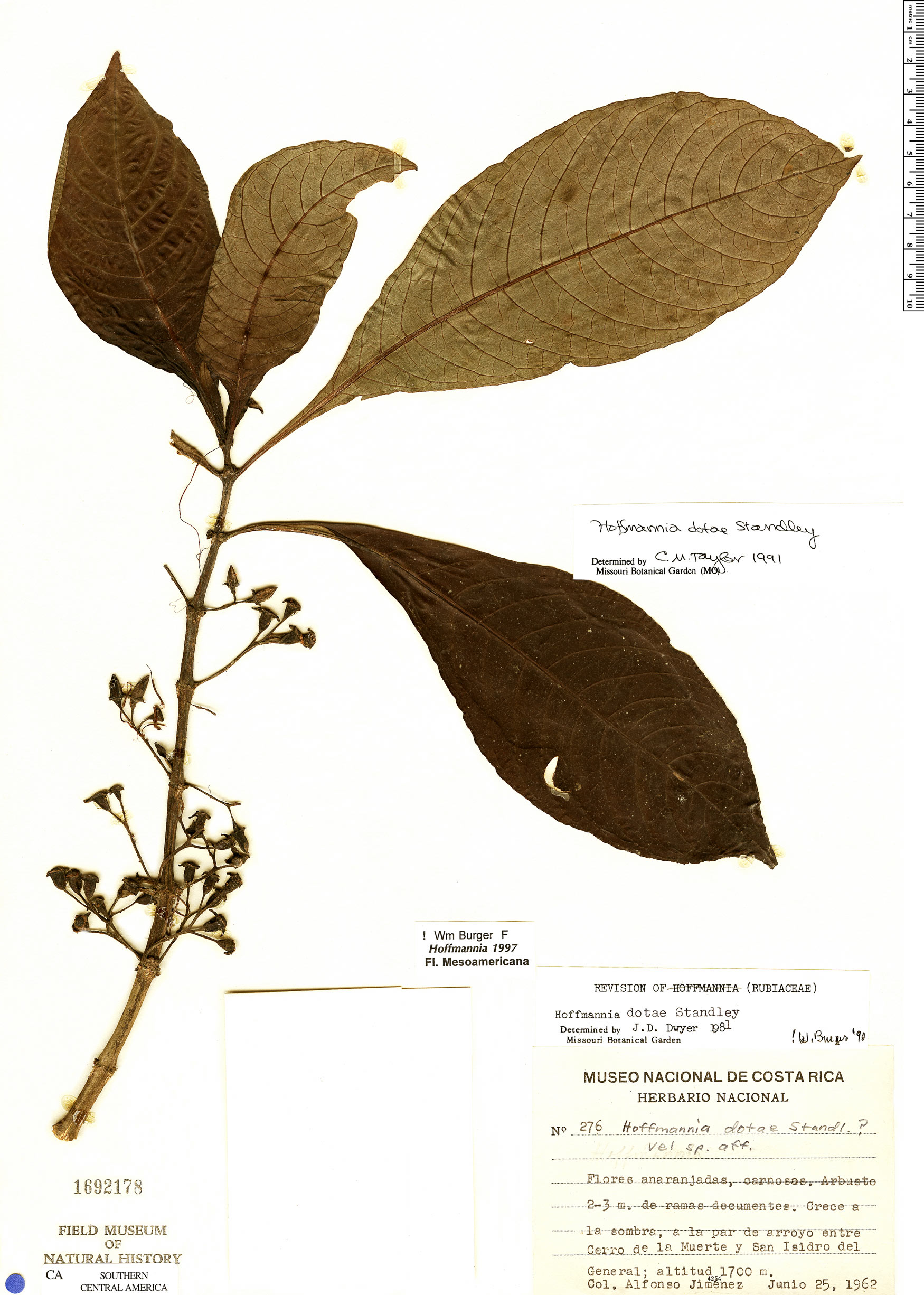 Hoffmannia dotae image