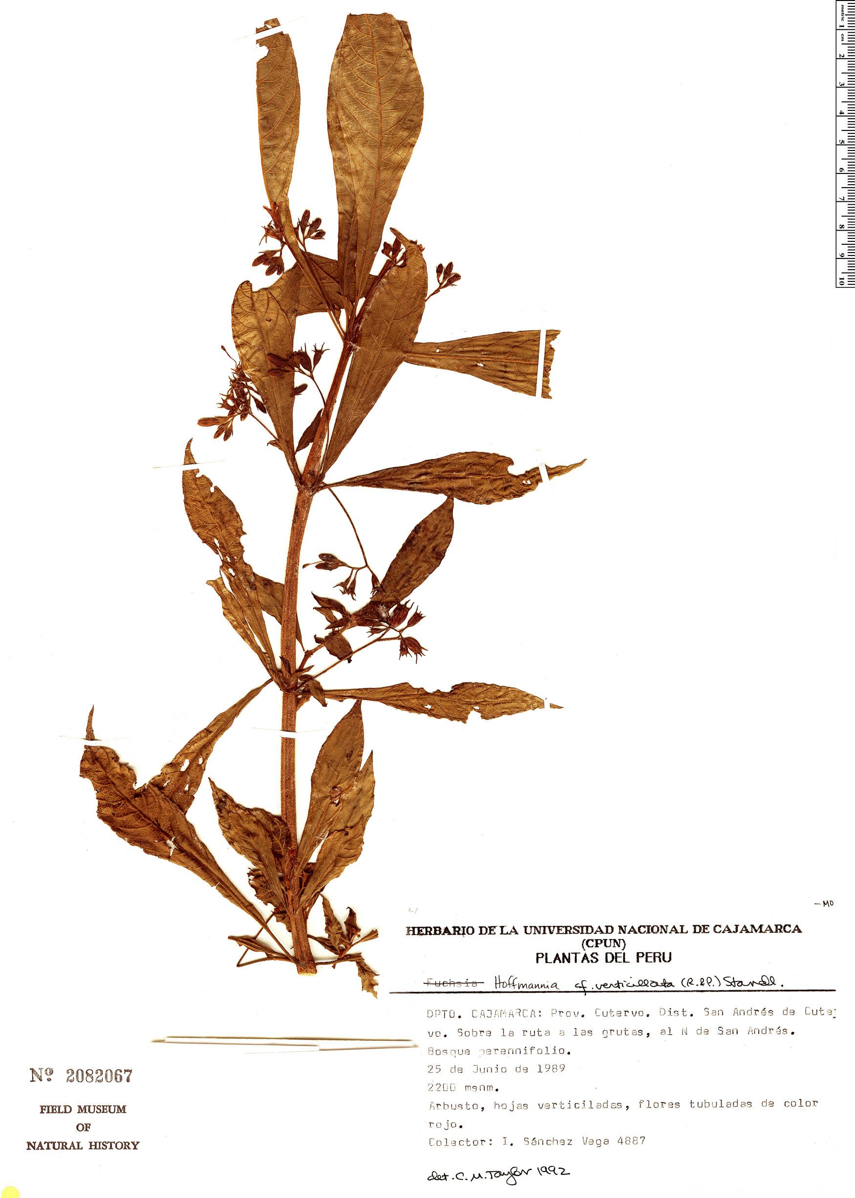 Specimen: Hoffmannia verticillata